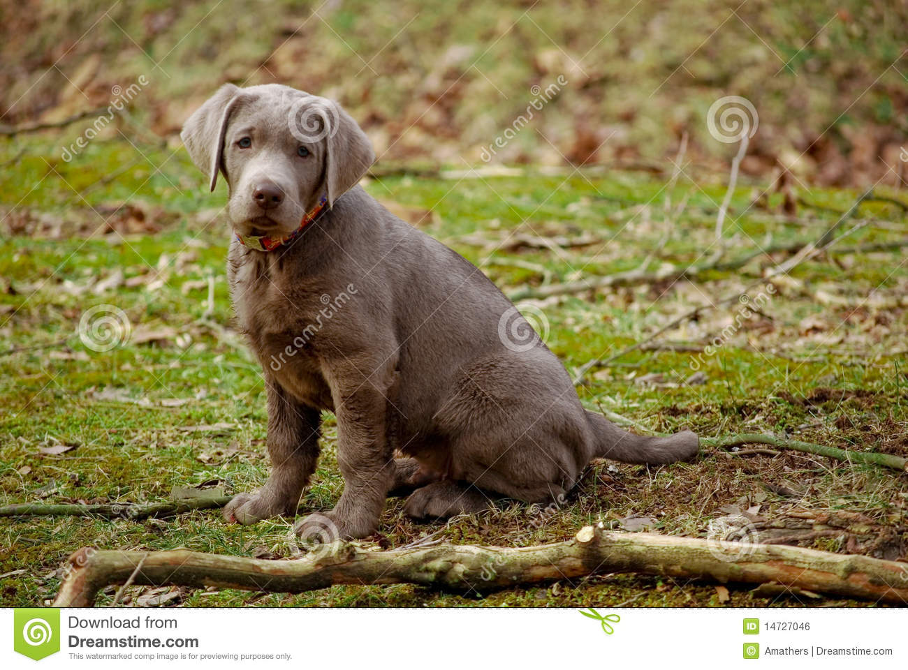 posing silver lab puppy royalty free stock image image