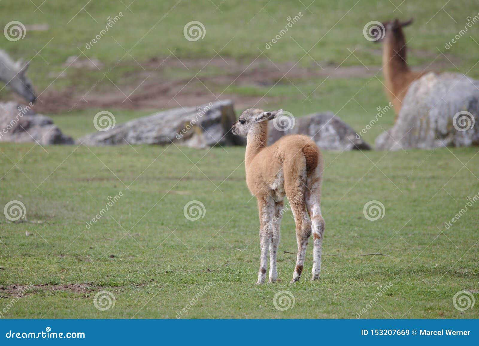 Position brun clair mignonne de poulain de lama sur un champ vert