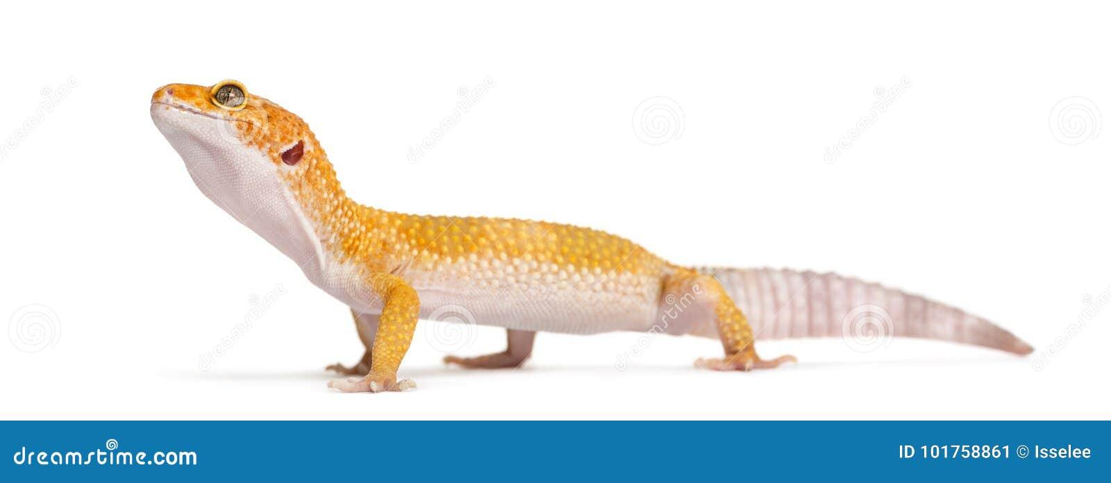 Position de gecko de léopard,