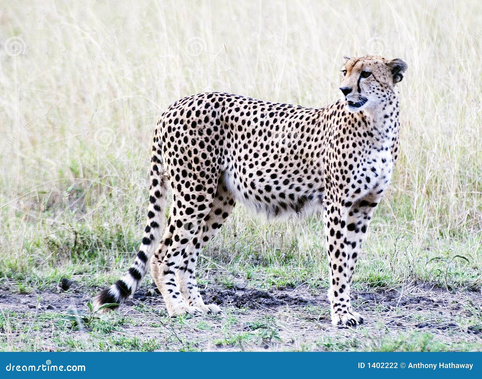 Position de guépard