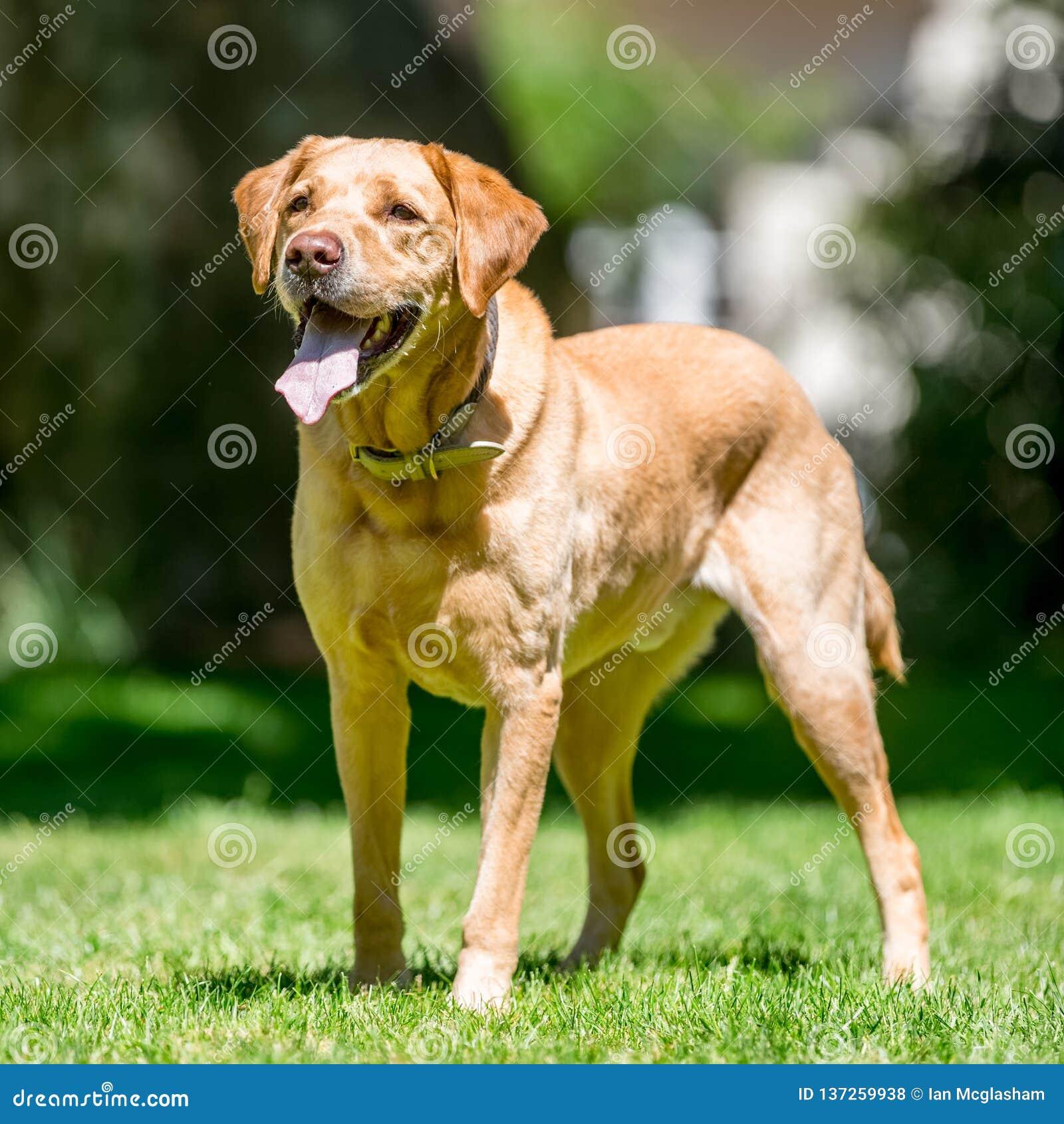 Position de Labrador sur l herbe regardant en avant un jour ensoleillé
