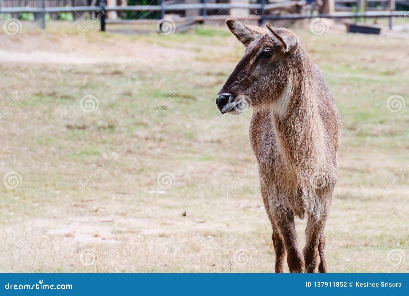Position femelle d antilope de Waterbuck seule dans le domaine vert