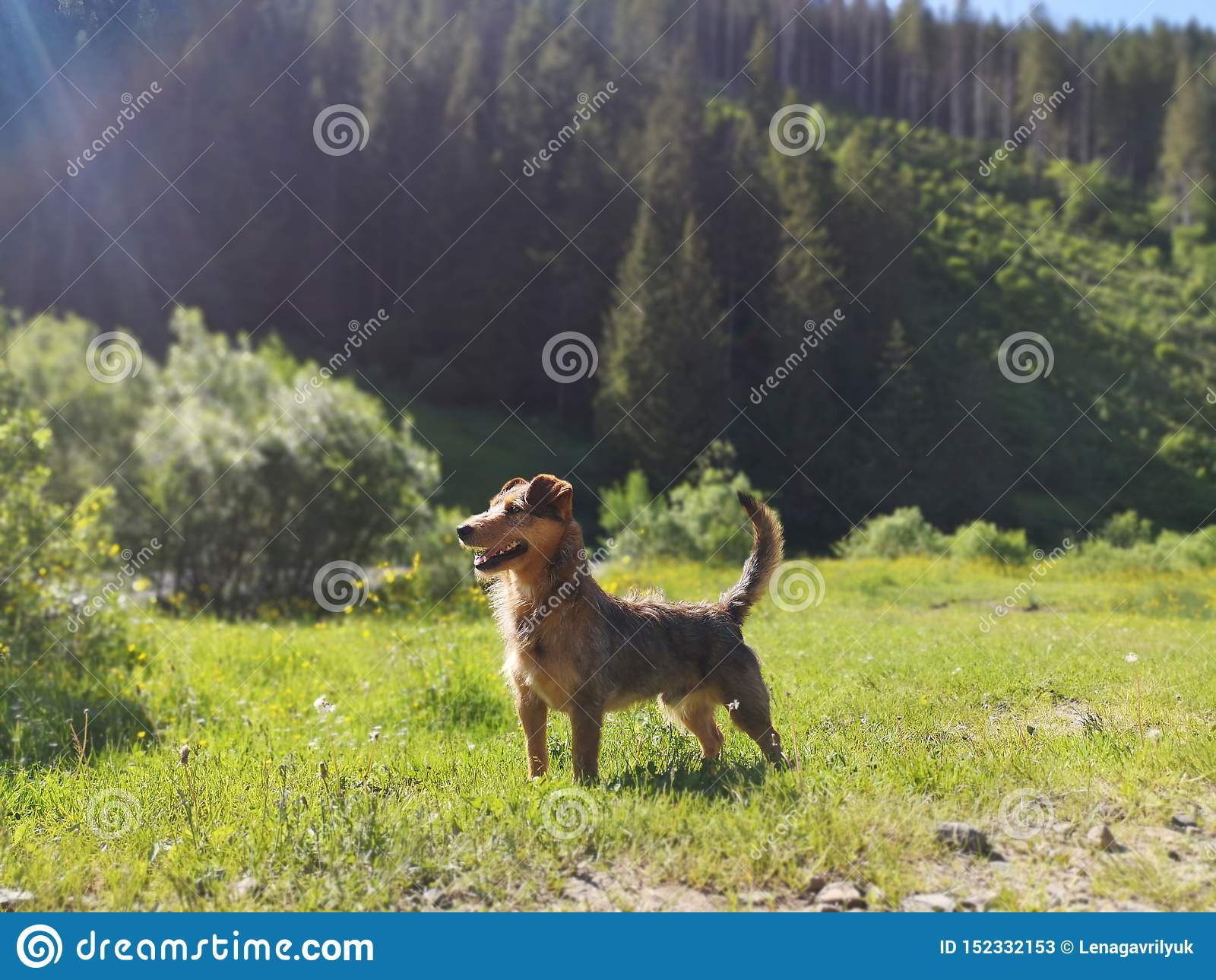 Position glorieuse de chien sur le fond de montagne