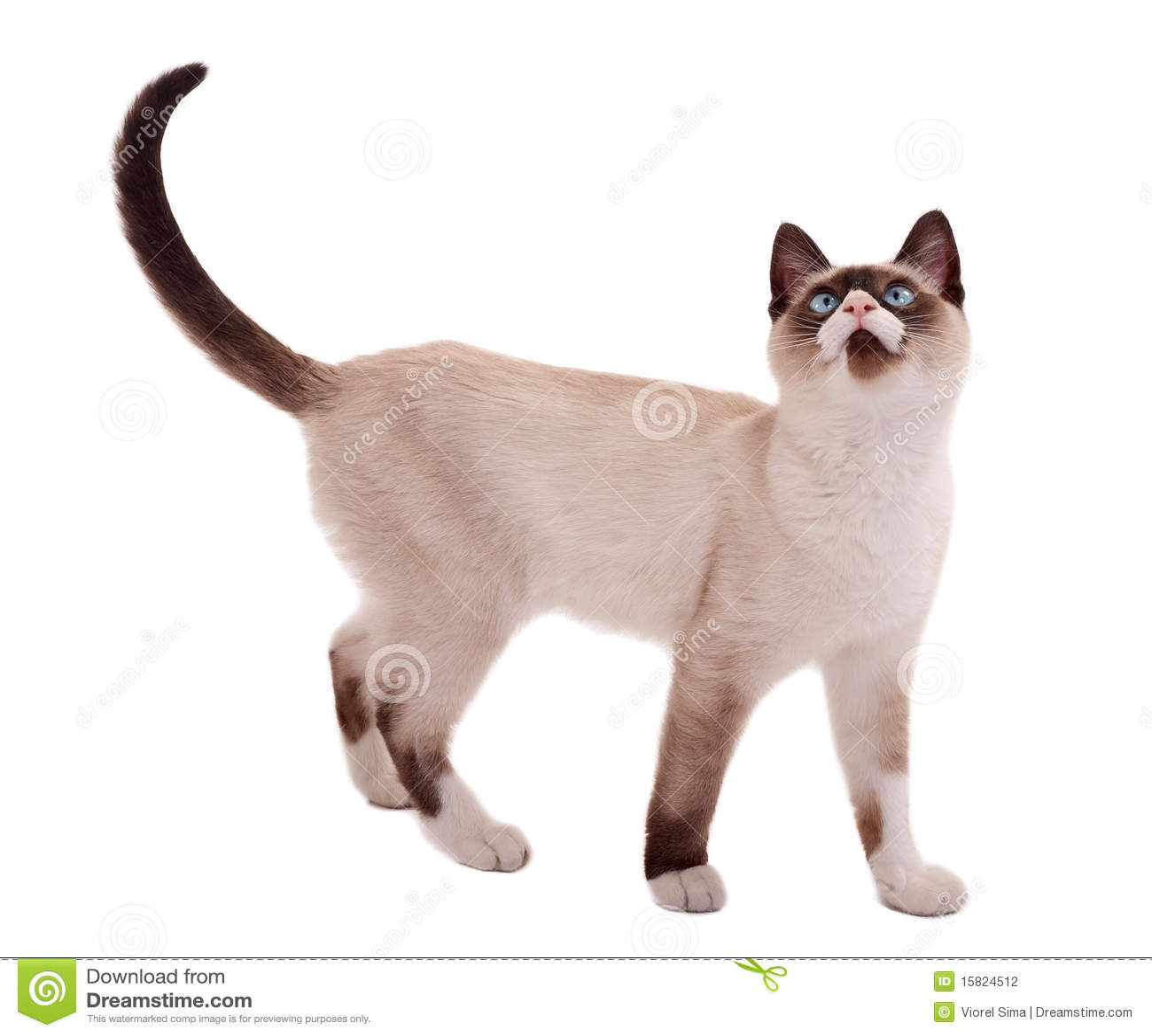 position mignonne de chat siamois photographie stock