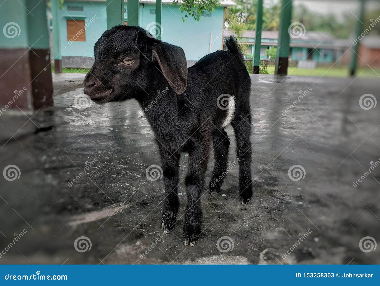 Position noire de chèvre de bébé sur le plancher
