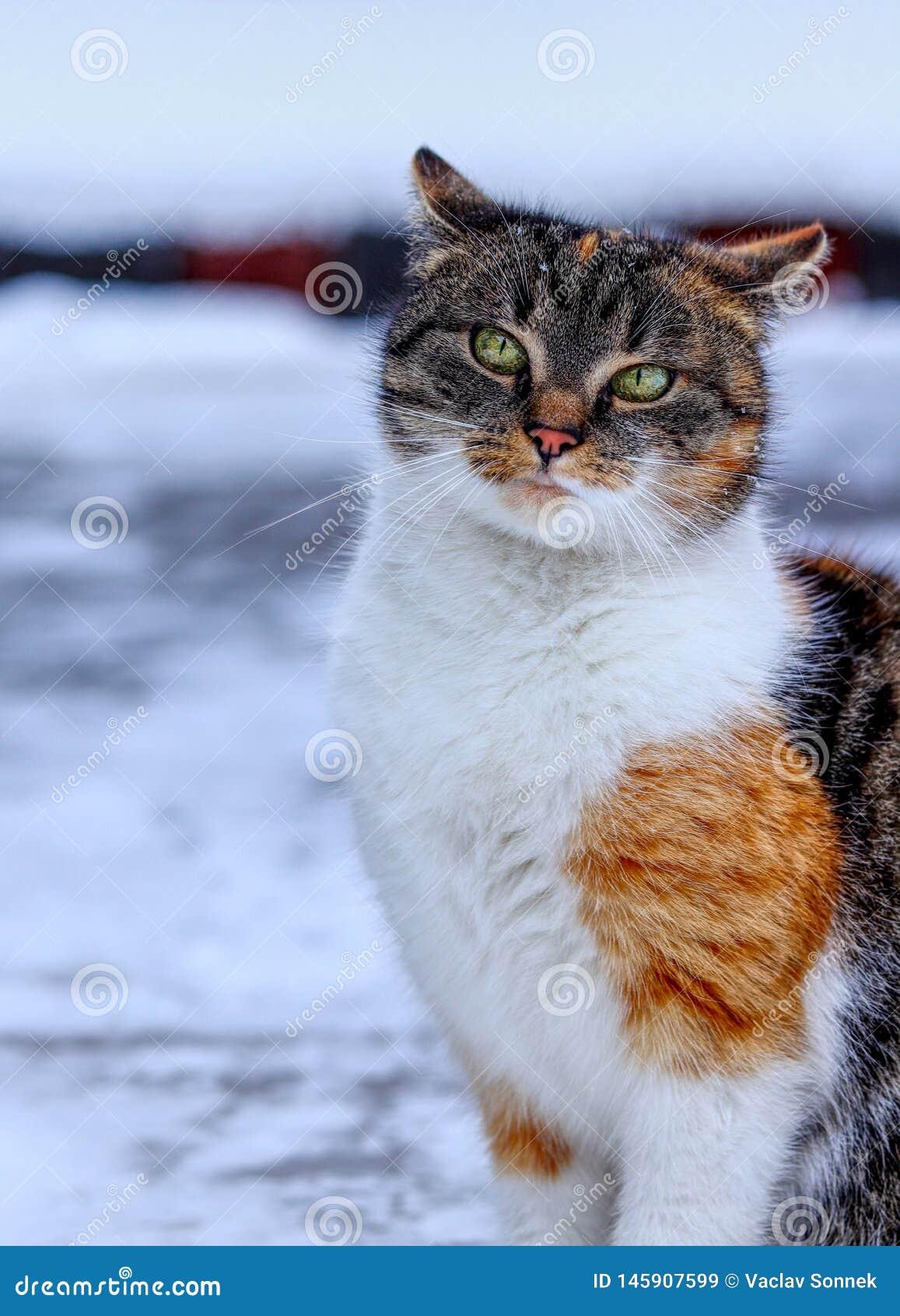 Position suffisante domestique de chaton dans la neige Regard arrogant de visage de chat à la caméra Visage arrogant Ressemblez à