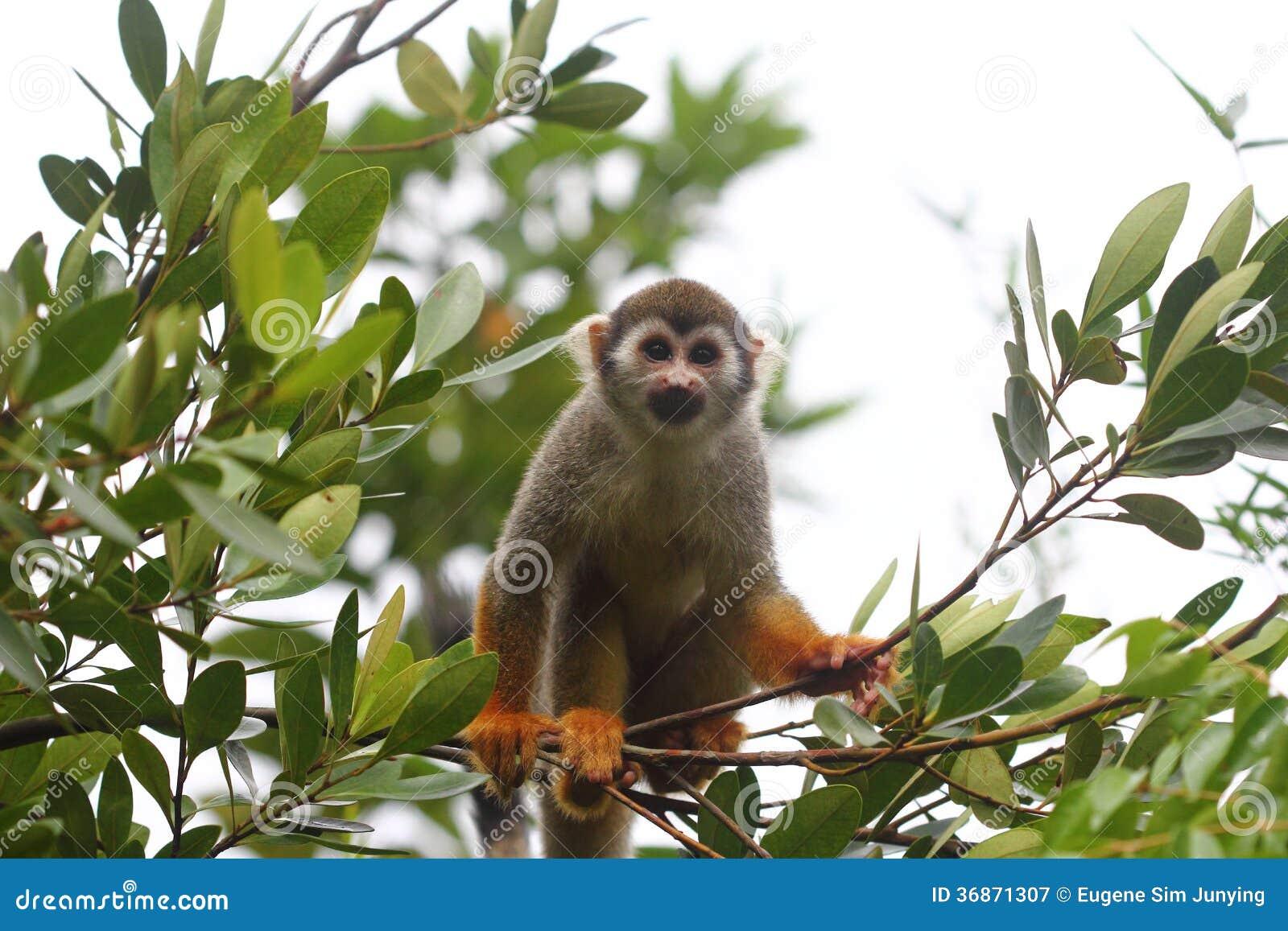 Pospolita Wiewiórcza małpa patrzeje kamerę