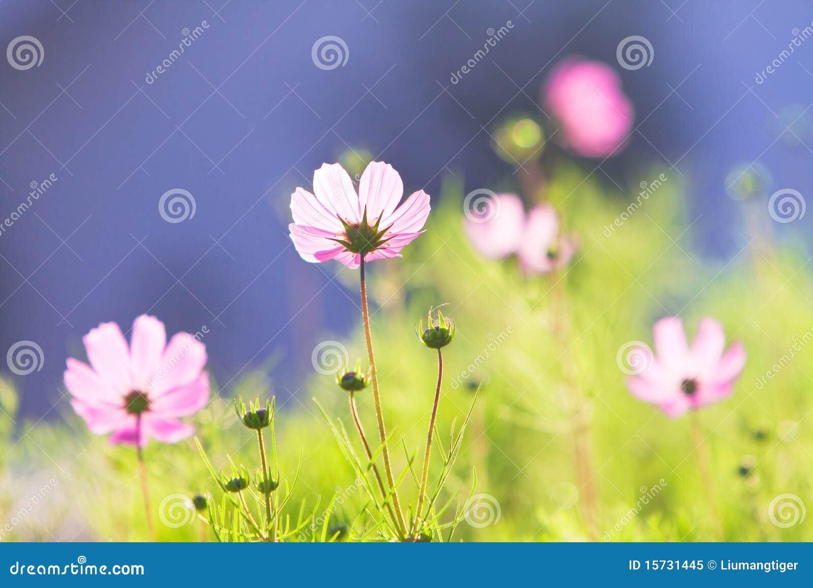 Pospolite kosmosu kwiatów menchie