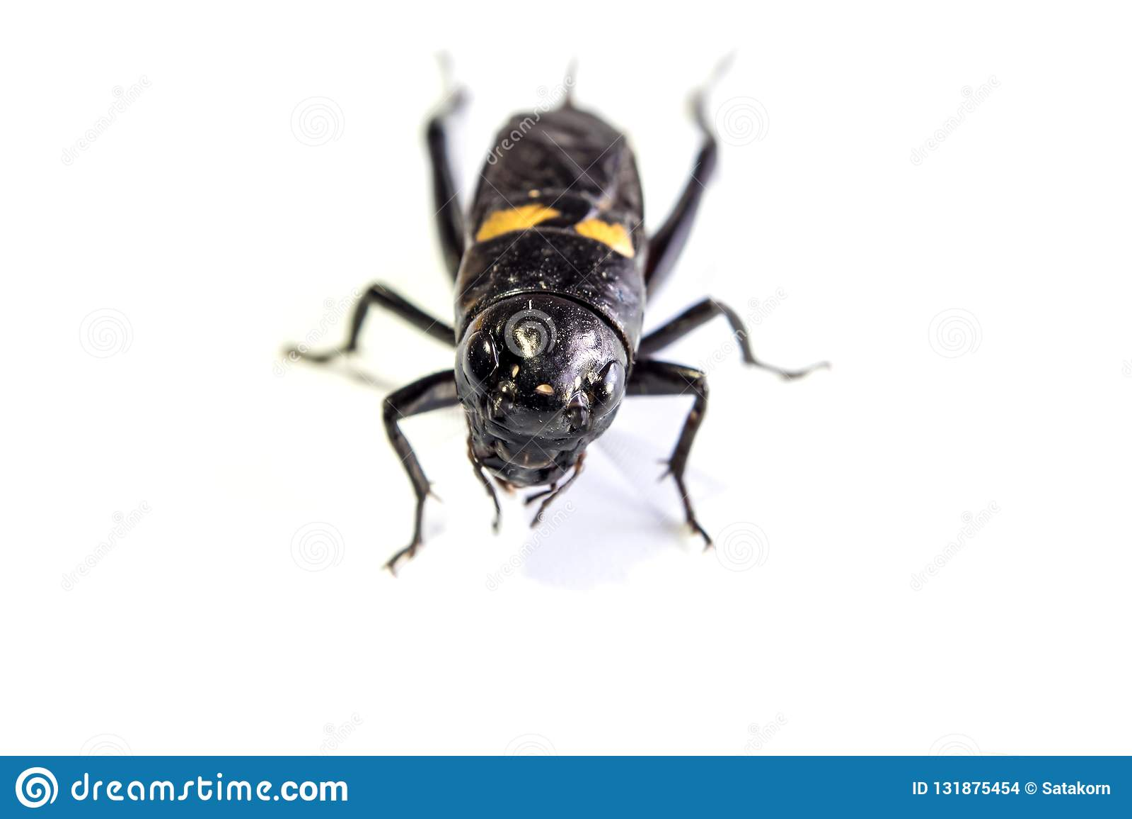 Pospolity czarny krykiet odizolowywał insekta na białym tle