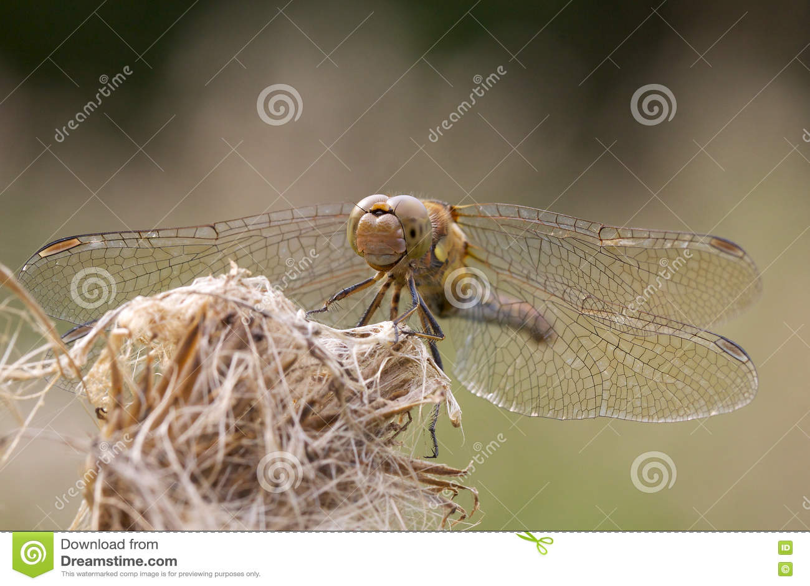 Pospolity Dater dragonfly na starej kwiat głowie