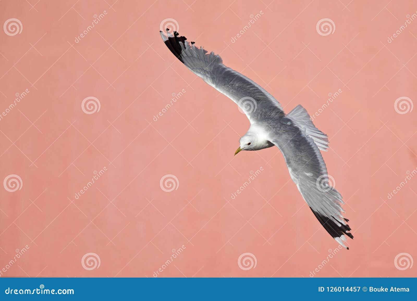 Pospolity frajera lub miauczenie frajera Larus canus latanie przed betonową menchii ścianą w portach Bremen Niemcy