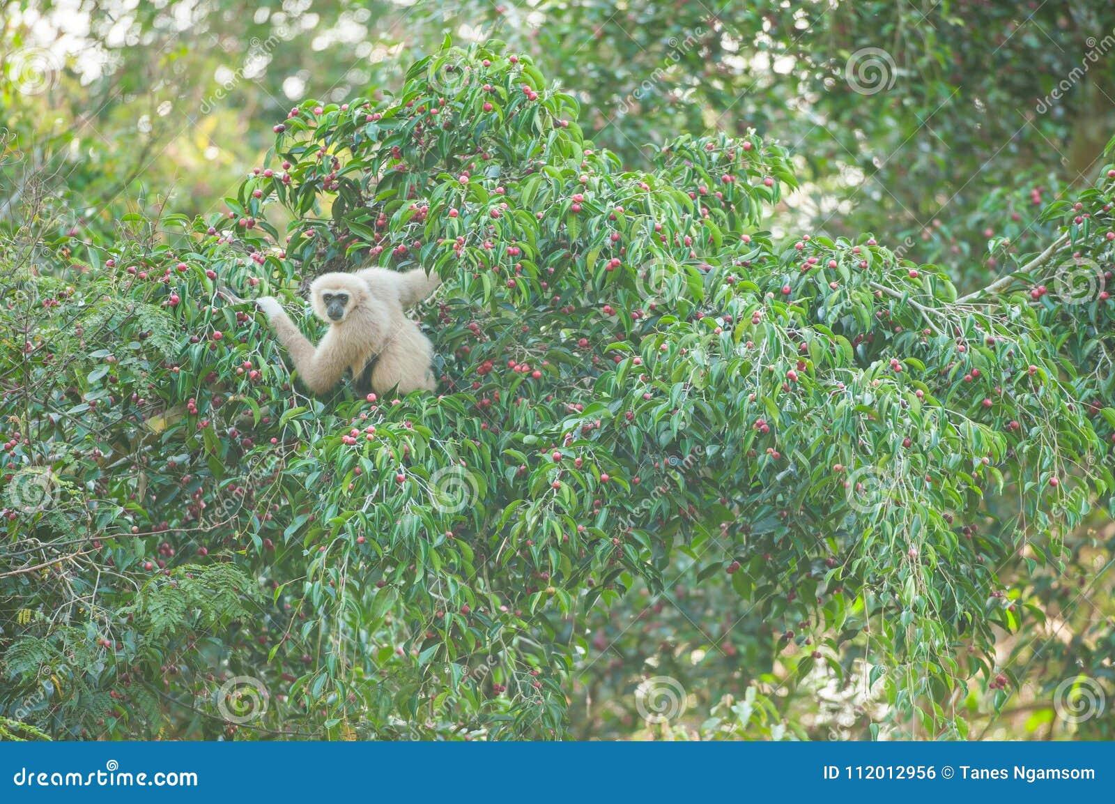 Pospolity Gibbon na figi drzewie