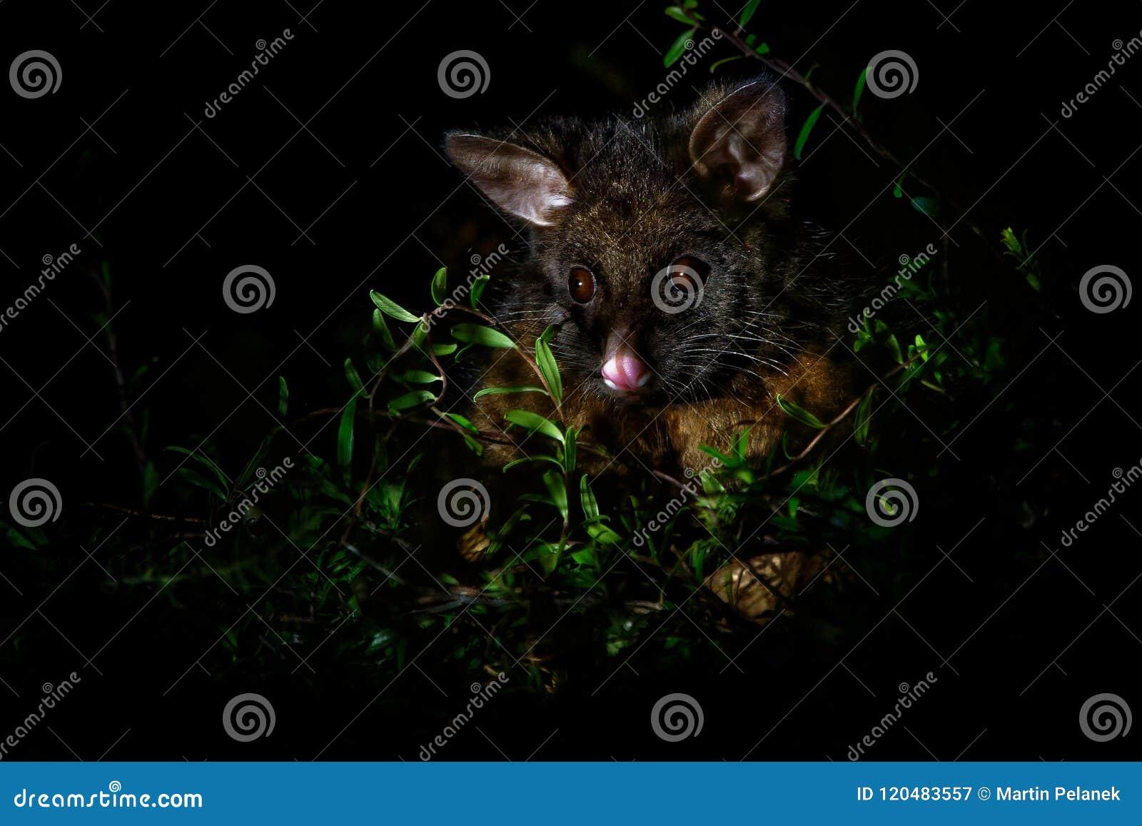 Pospolity Ogoniasty Possum nocturnal, nadrzewny torbacz Australia, przedstawiający Nowa Zelandia - Trichosurus vulpecula -
