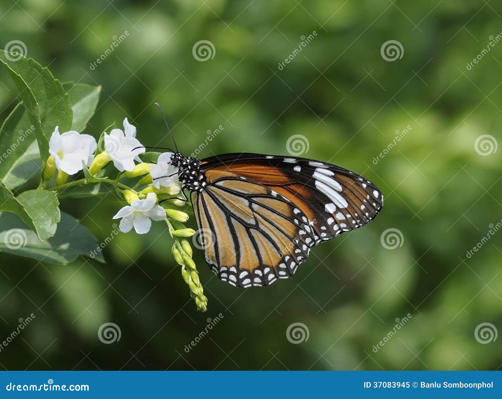 Download Pospolity tygrysi motyl obraz stock. Obraz złożonej z wzór - 37083945