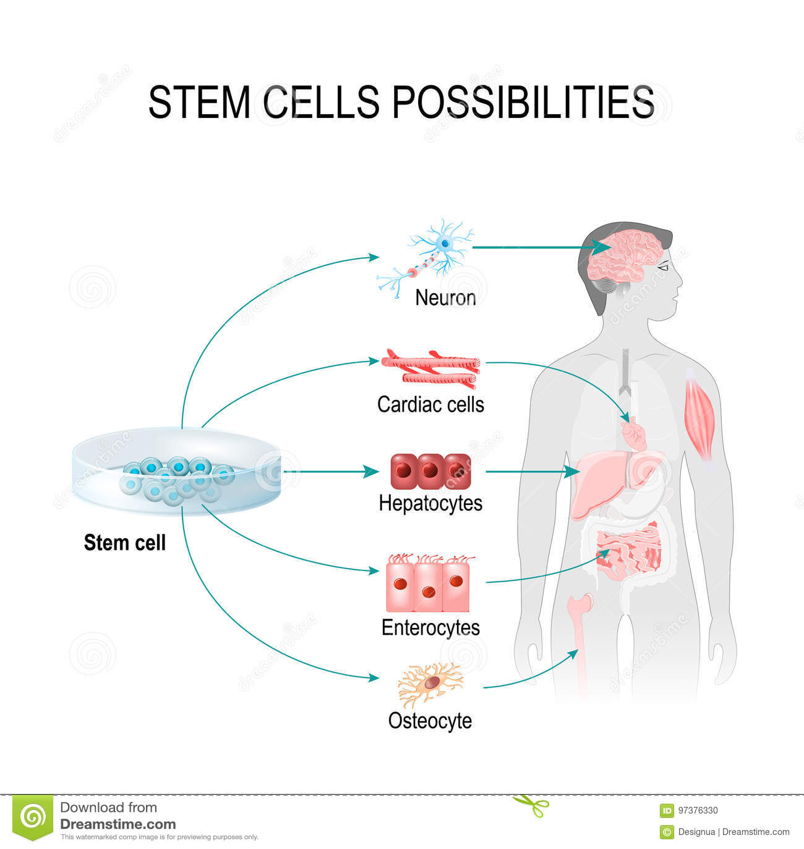 Possibilità delle cellule staminali