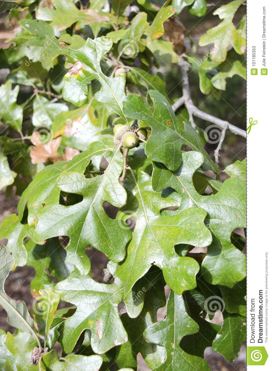 Post Oak stock image  Image of barrens, quercus, drought - 101185353