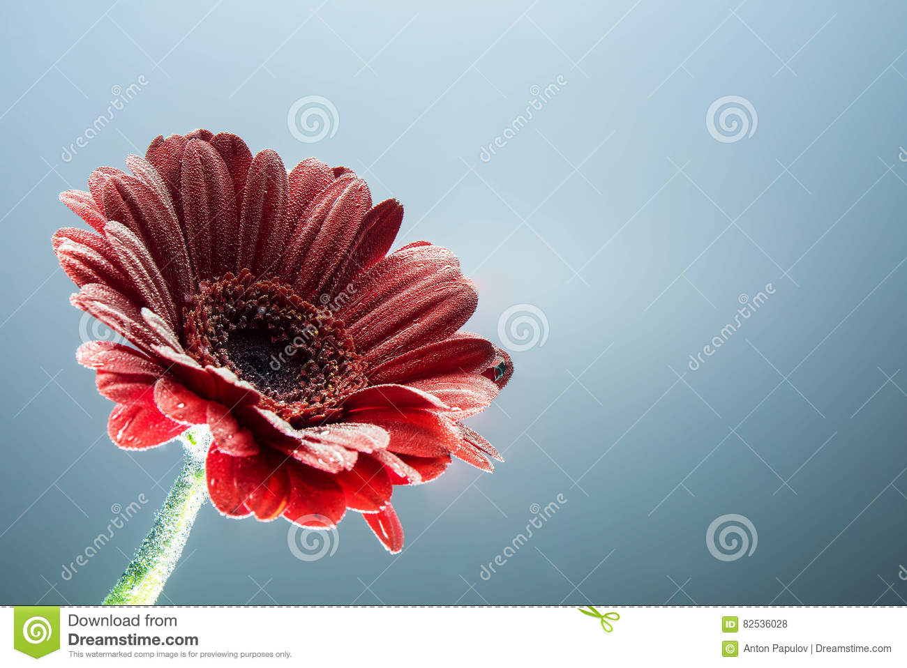 Postcard red gerbera flower closeup with water drops. soft grey background