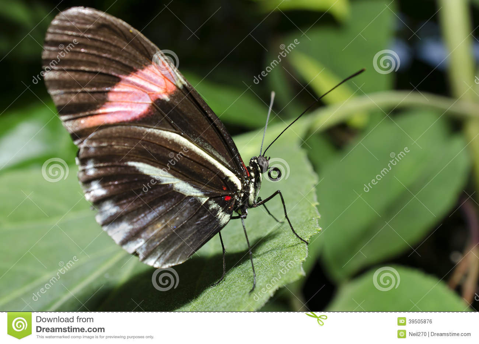 A postman Butterfly