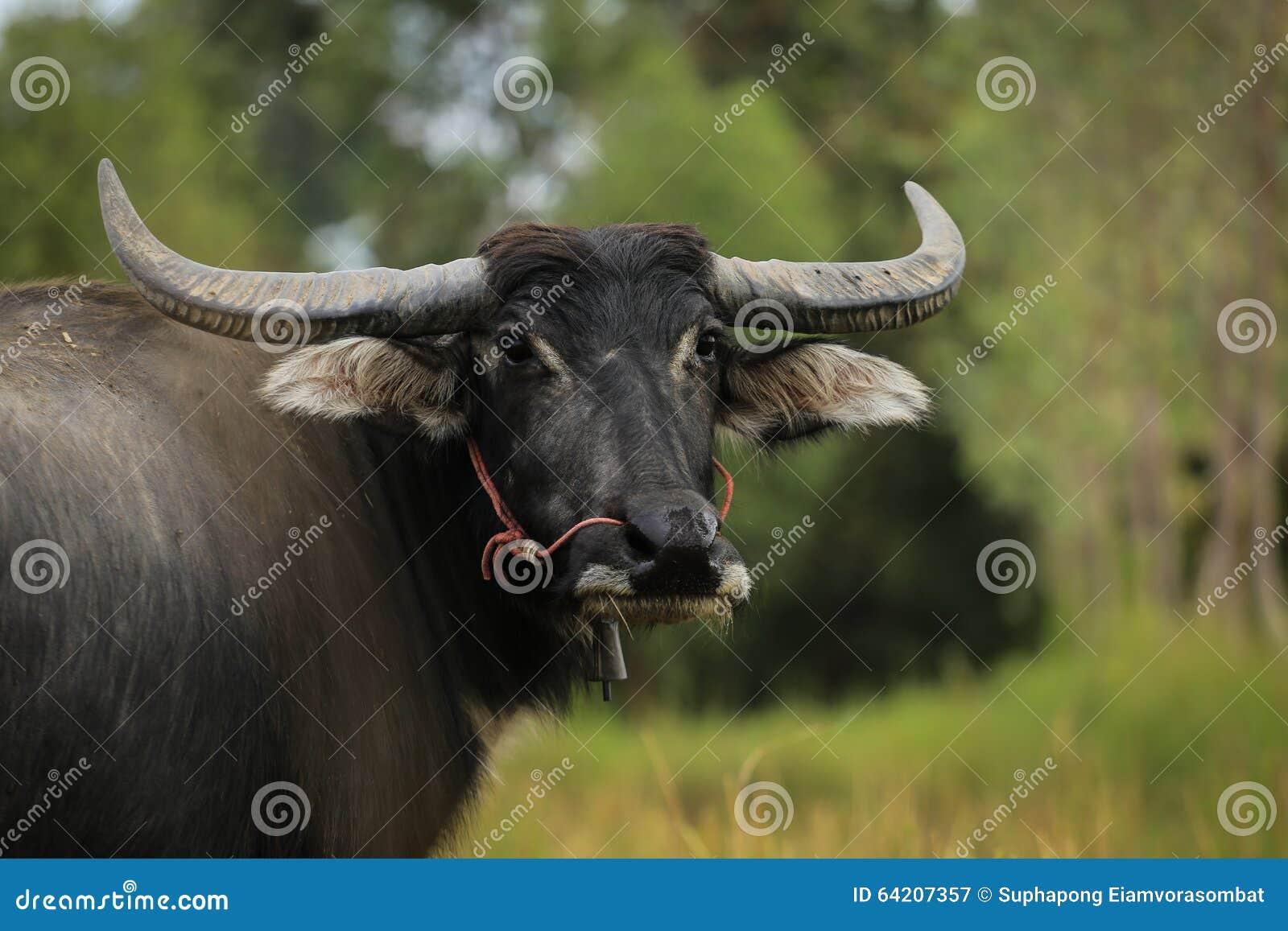 Posts tailandeses del búfalo en cámara