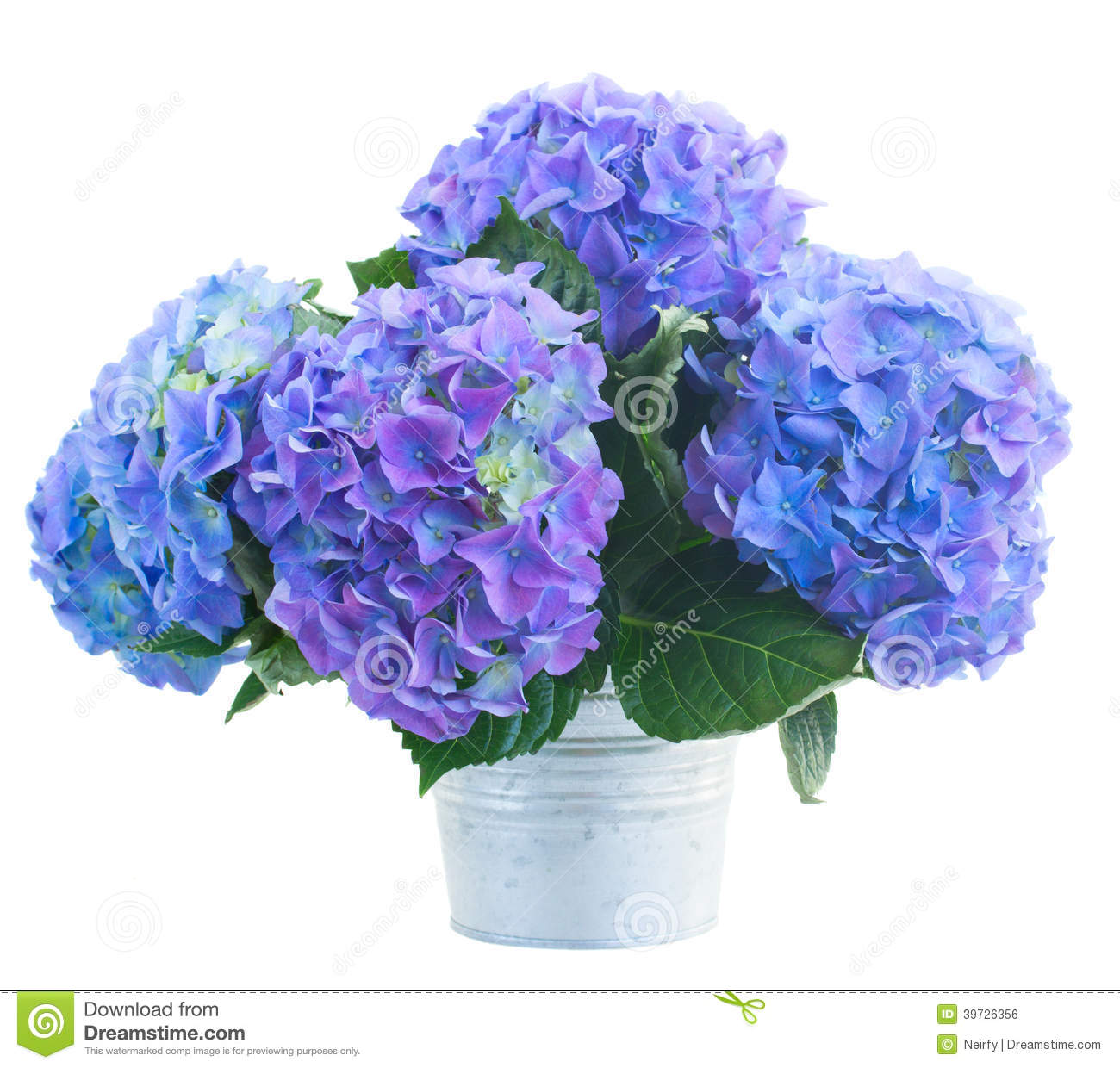 posy of blue hortensia flowers stock photo image 39726356. Black Bedroom Furniture Sets. Home Design Ideas