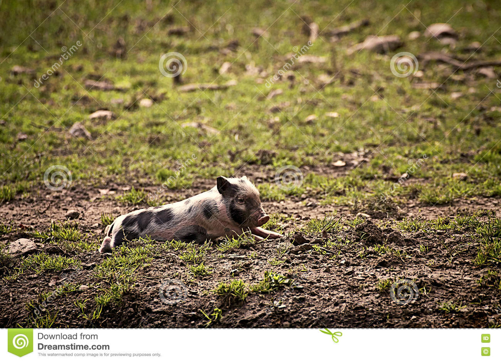 Pot-bellied χοίρος που στηρίζεται στον τομέα