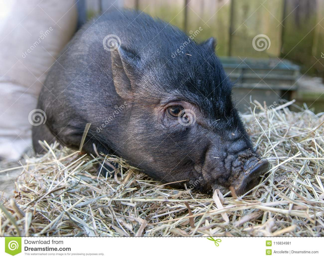 Pot Bellied Pig with Hay