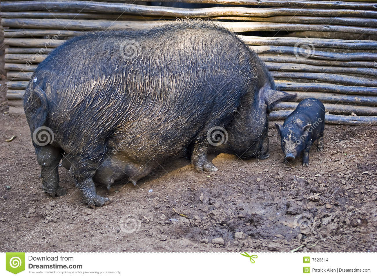 How to Breed Pot Bellied Pigs How to Breed Pot Bellied Pigs new photo
