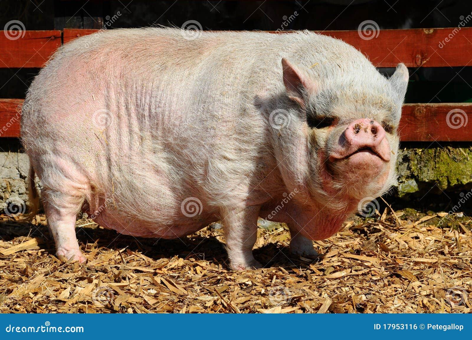 Pot-Bellied Schwein
