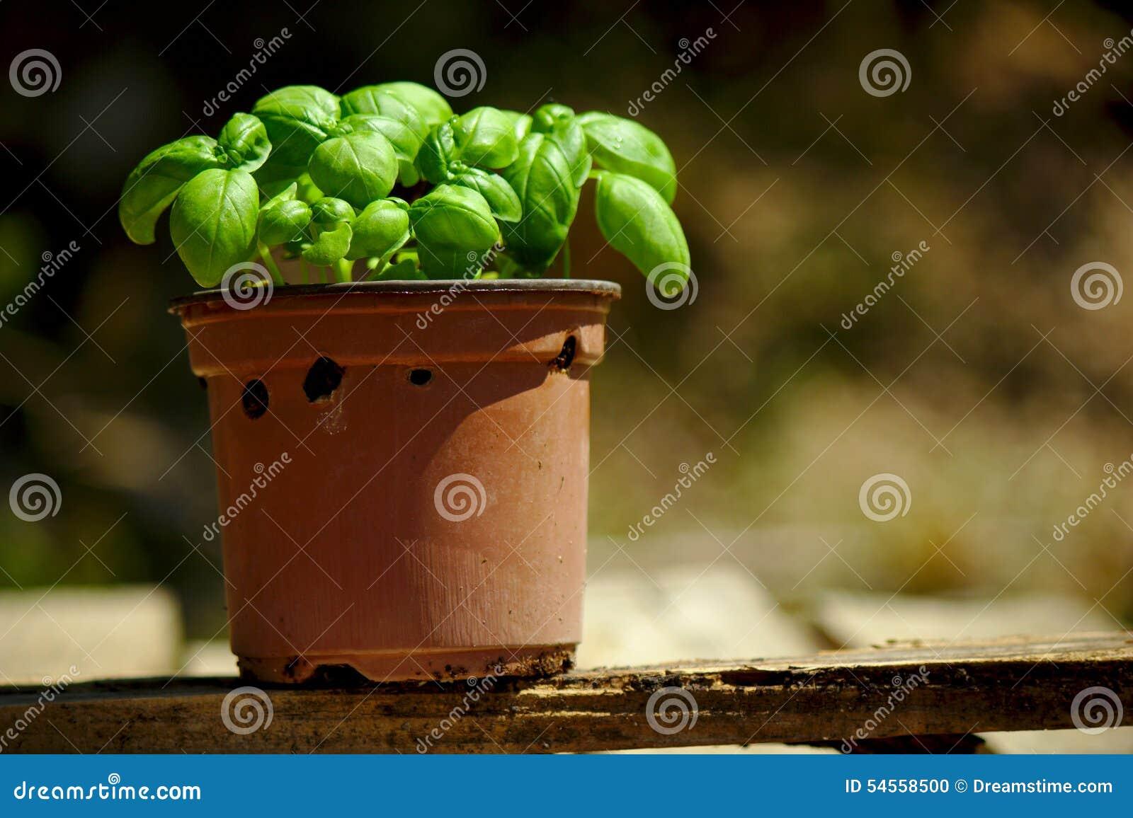Pot de Basil