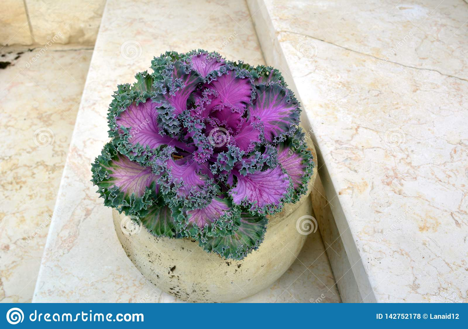 Pot with decorative cabbage - lilac leaves in a green lace frame