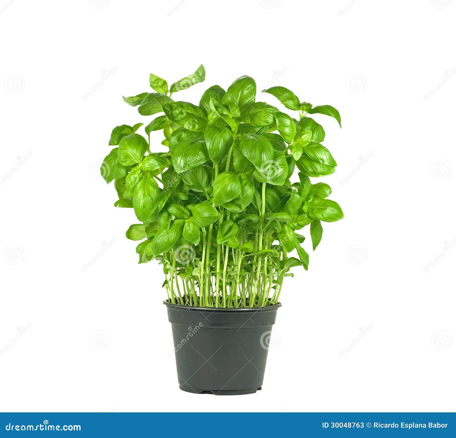 fresh basil plant stock image image of fresh closeup 30048763. Black Bedroom Furniture Sets. Home Design Ideas