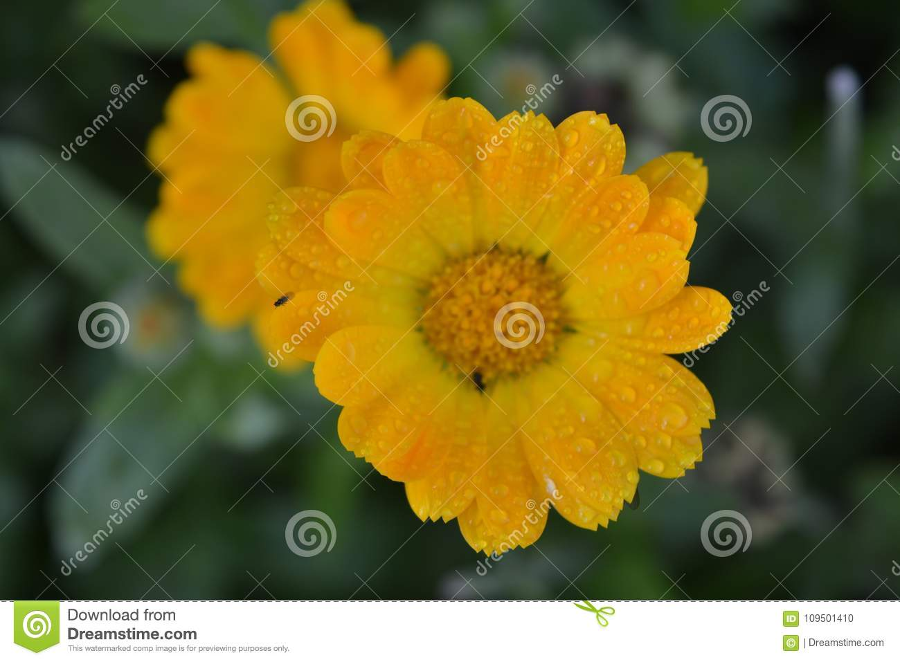 The Pot Marigold Calendula Officialis Orange Flower With Small