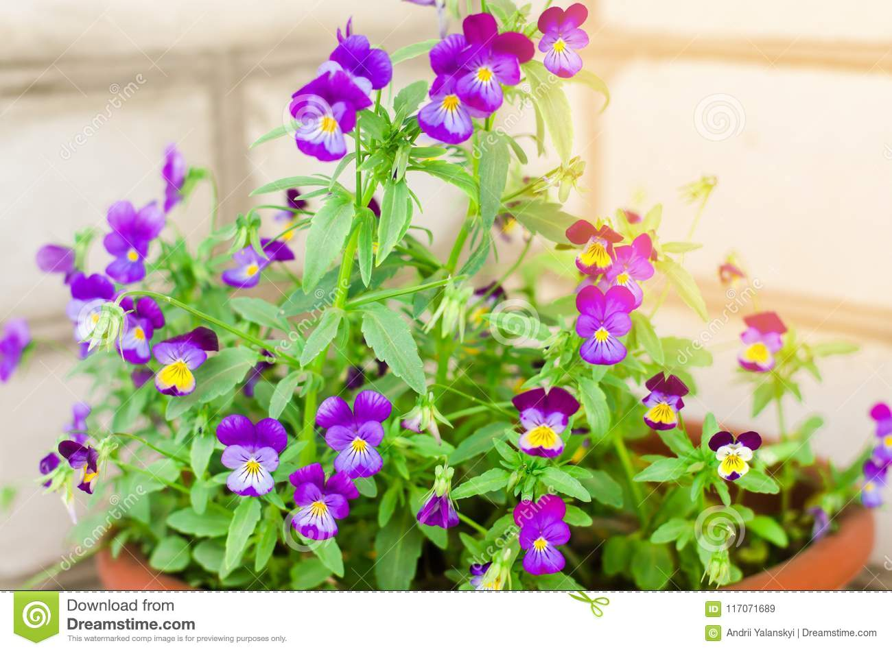 Pot With Purple Or Blue Petunyami Beautiful Spring And Summer