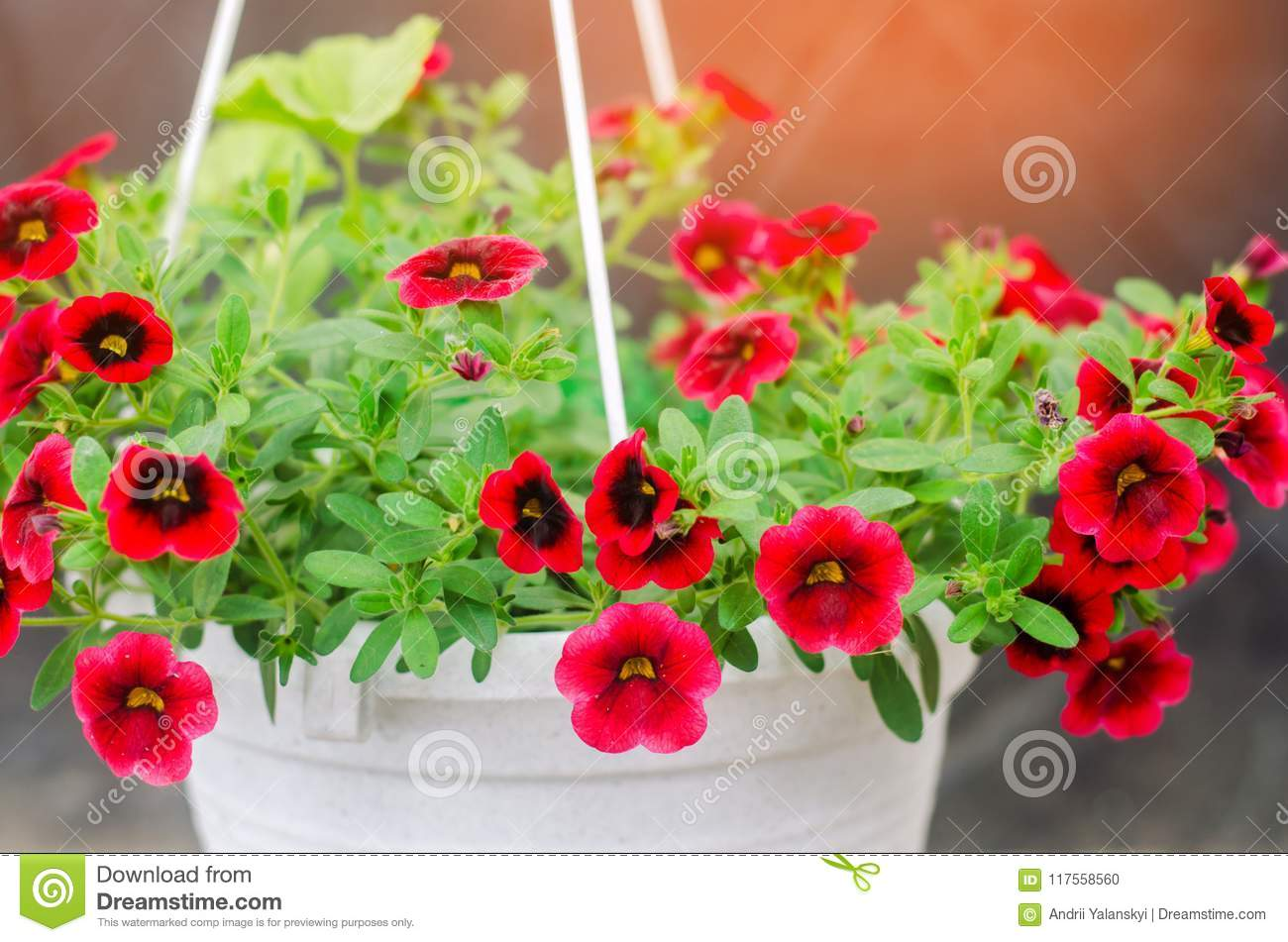 Pot With Red Petunyami, Beautiful Spring And Summer Flowers
