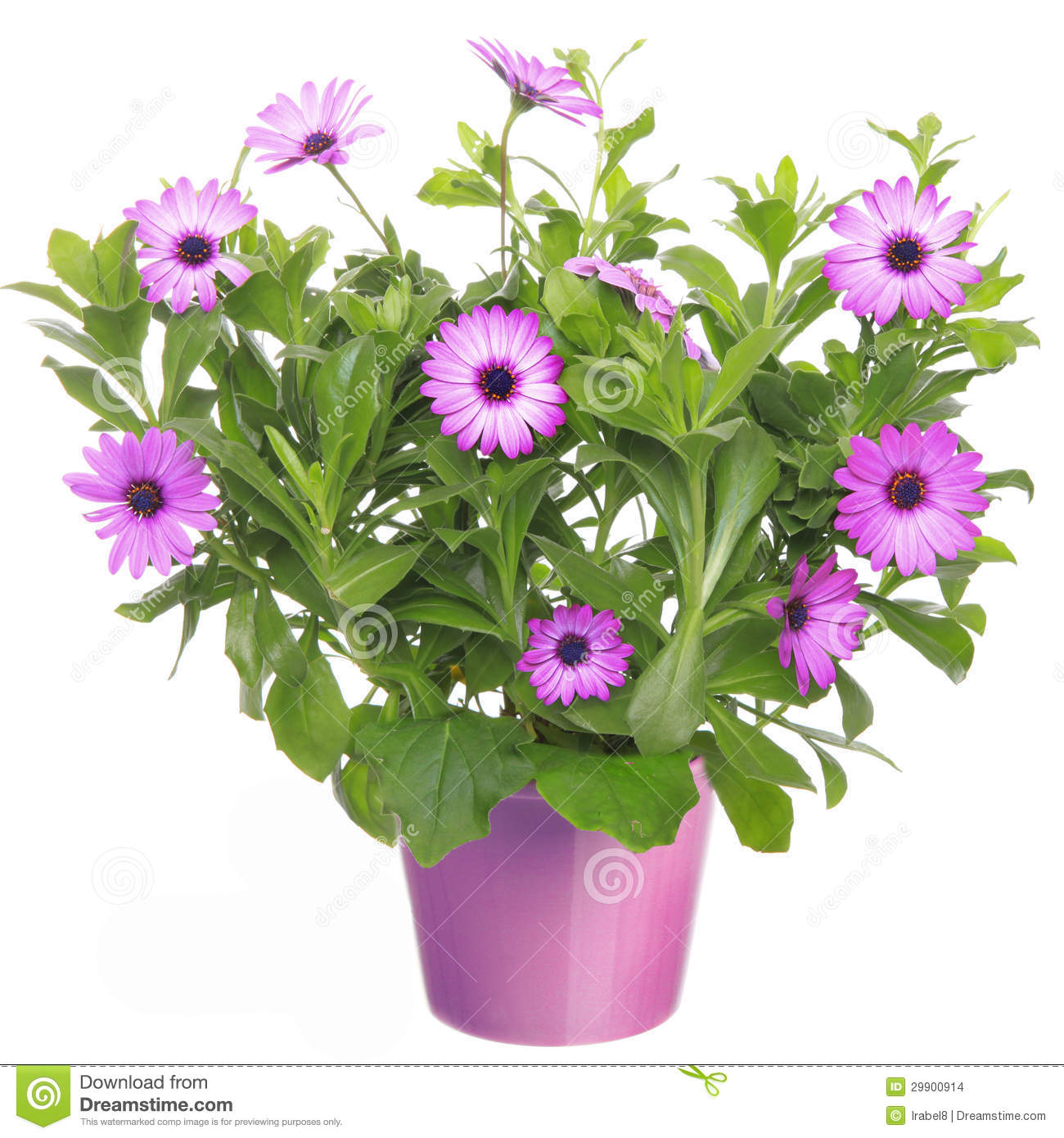 pot with violet african daisy flower stock photo image. Black Bedroom Furniture Sets. Home Design Ideas