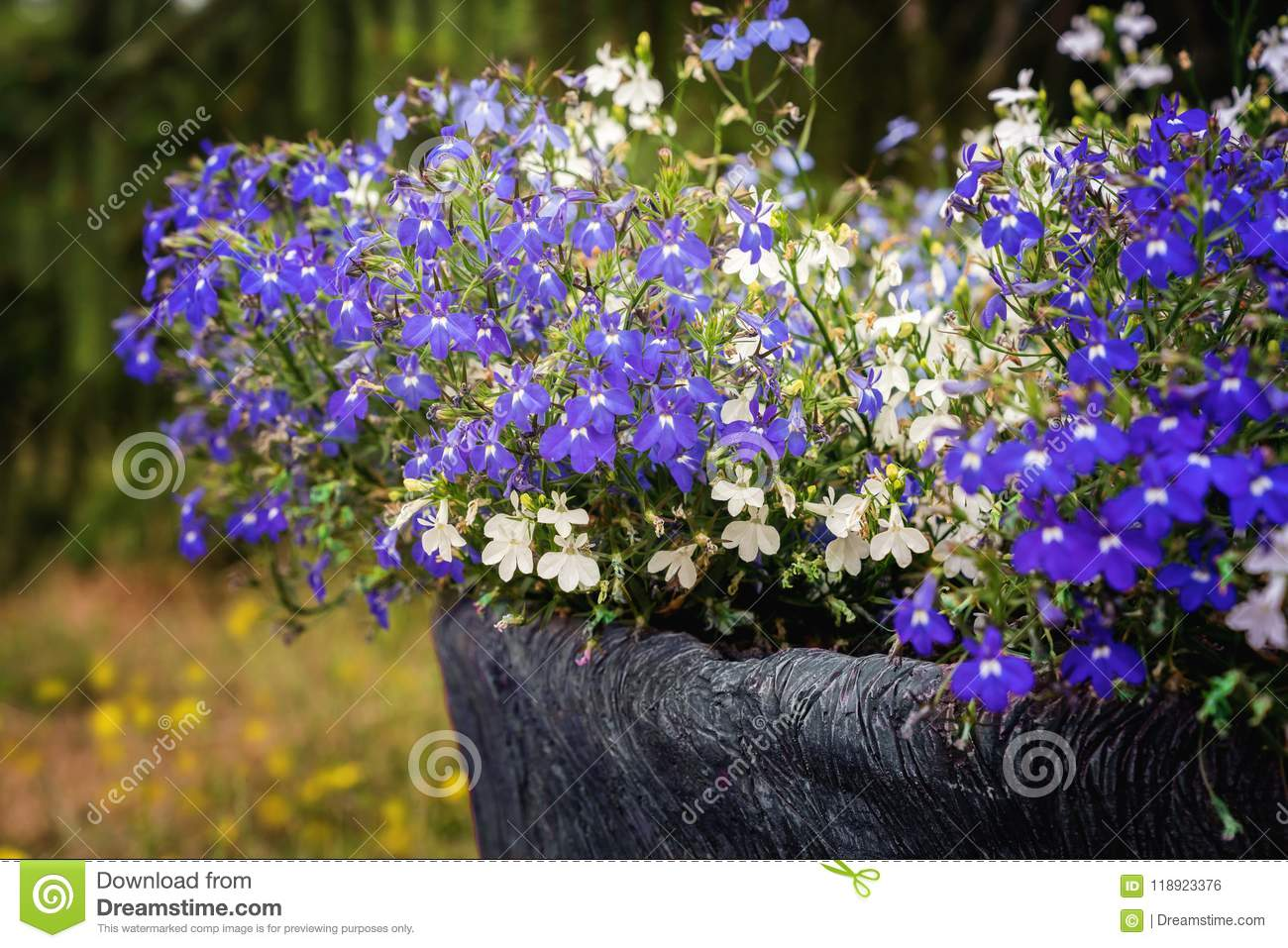 A Pot With White And Blue Lobelia Erinus Flowers Stock Photo Image