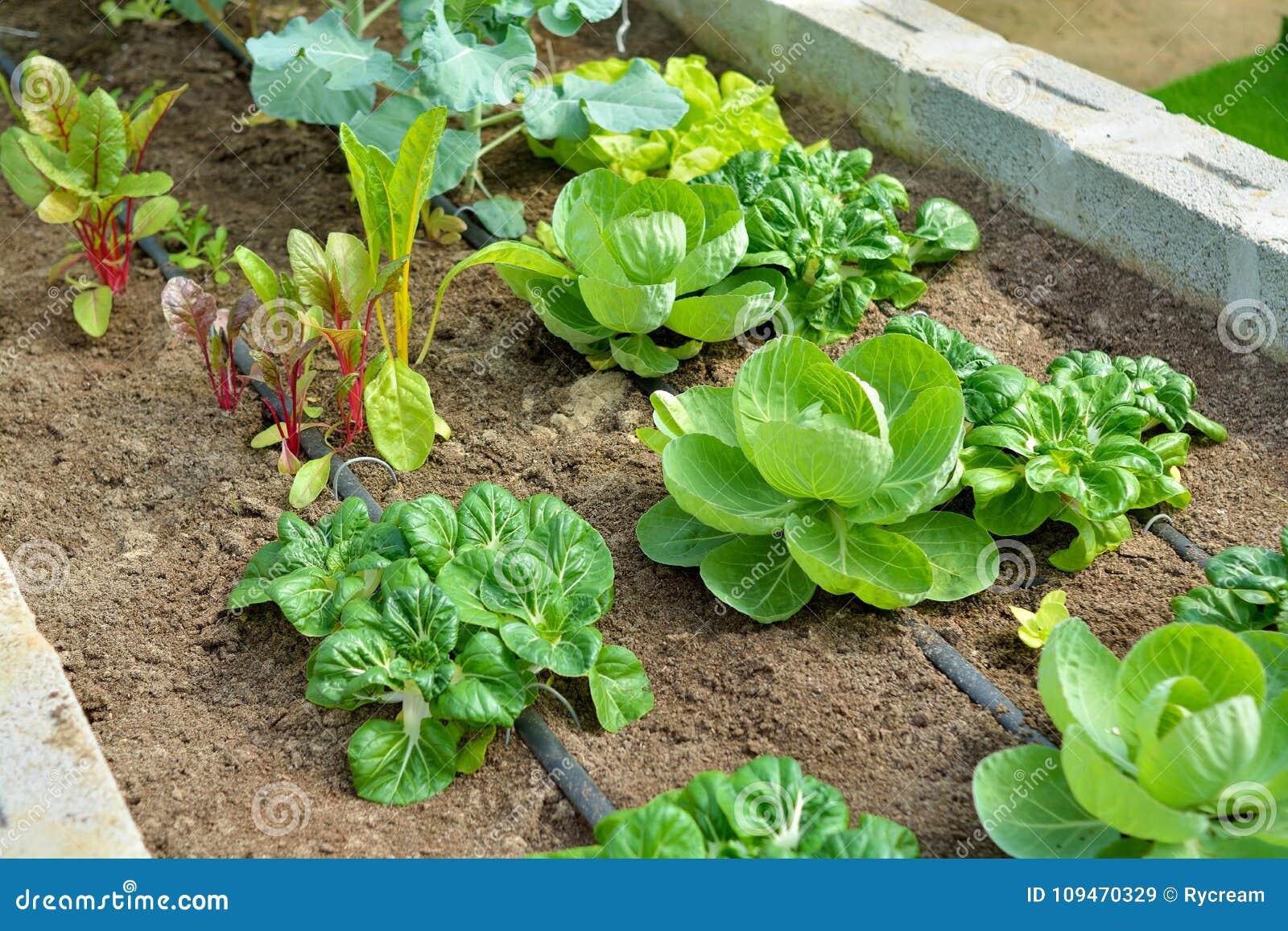 Potager organique avec l irrigation par égouttement