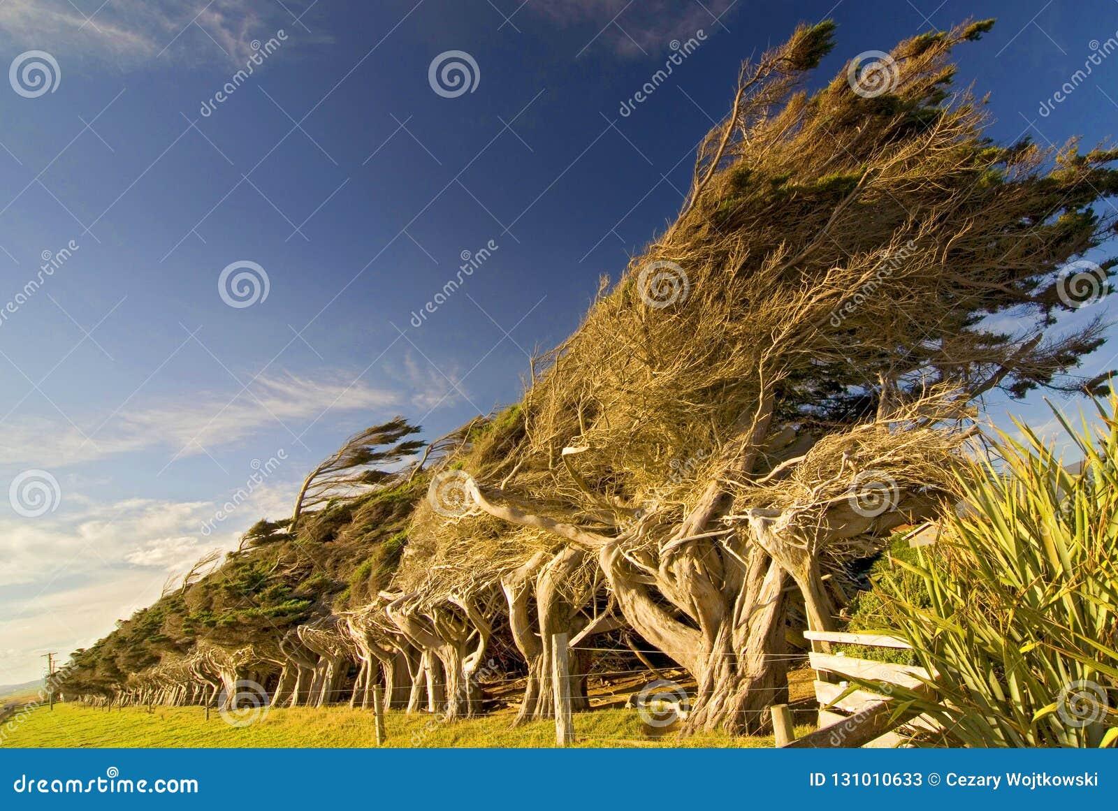 Potargani nabrzeżni drzewa przy skłonu punktem w Nowa Zelandia