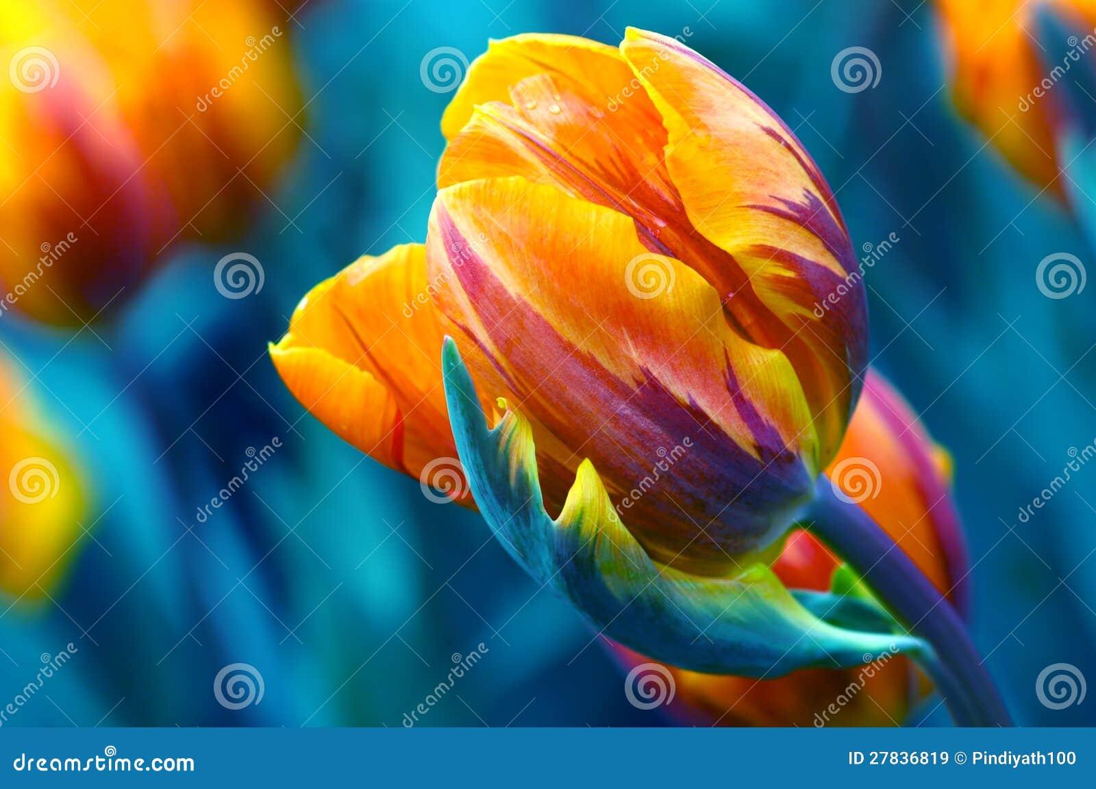 Potargany tulipan