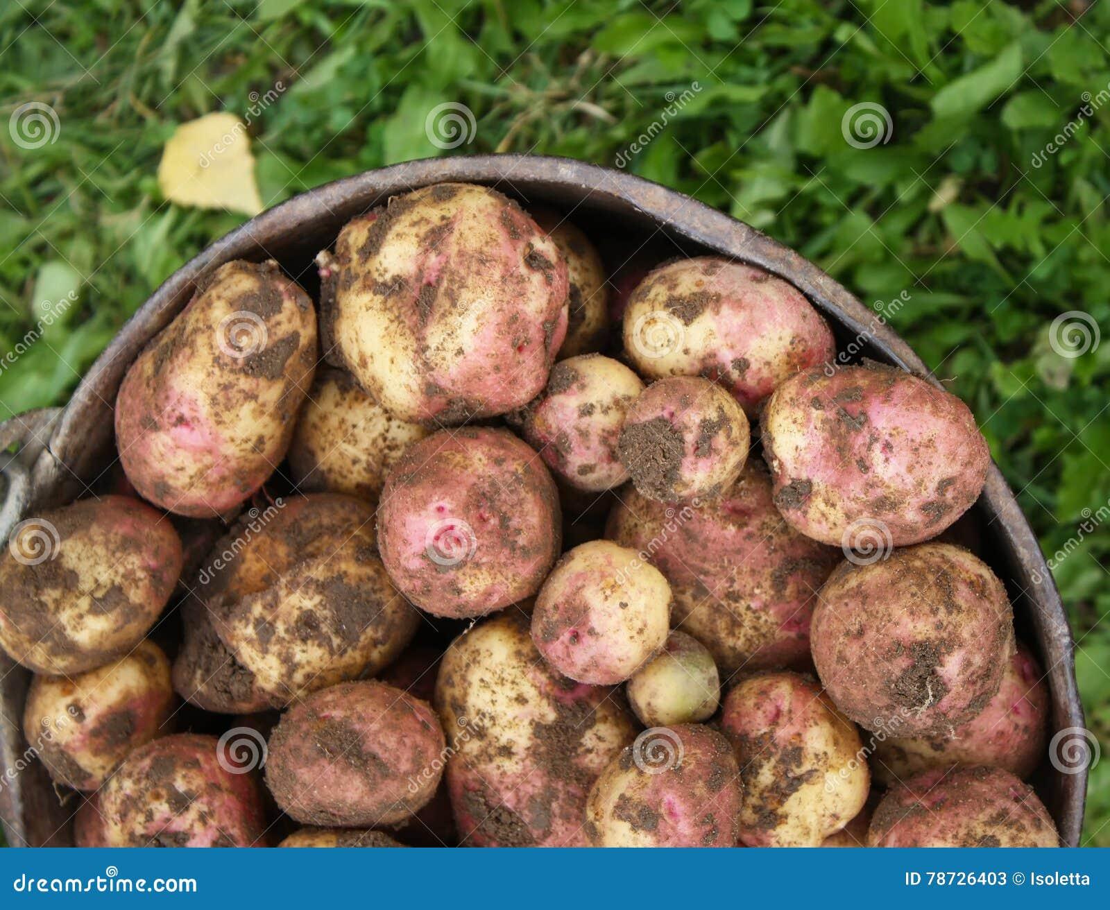 Potatisar i den gamla hinken