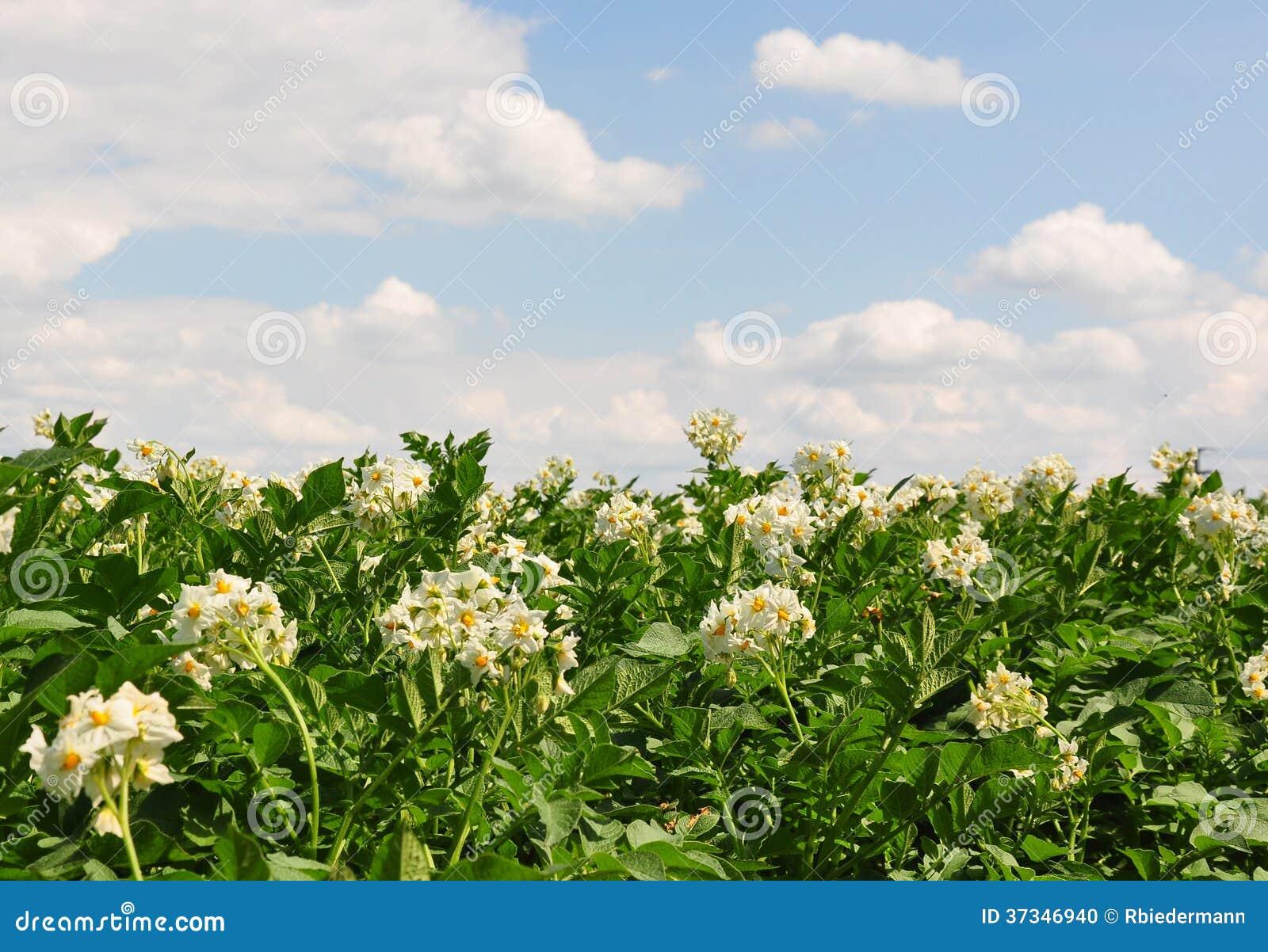 Potatisfält