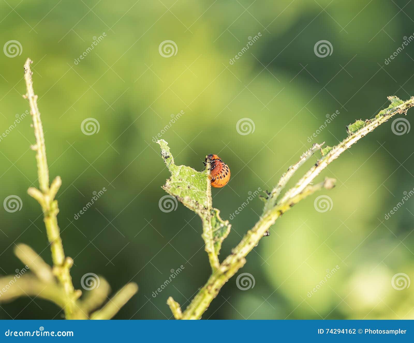 Potato Bug Caterpillar