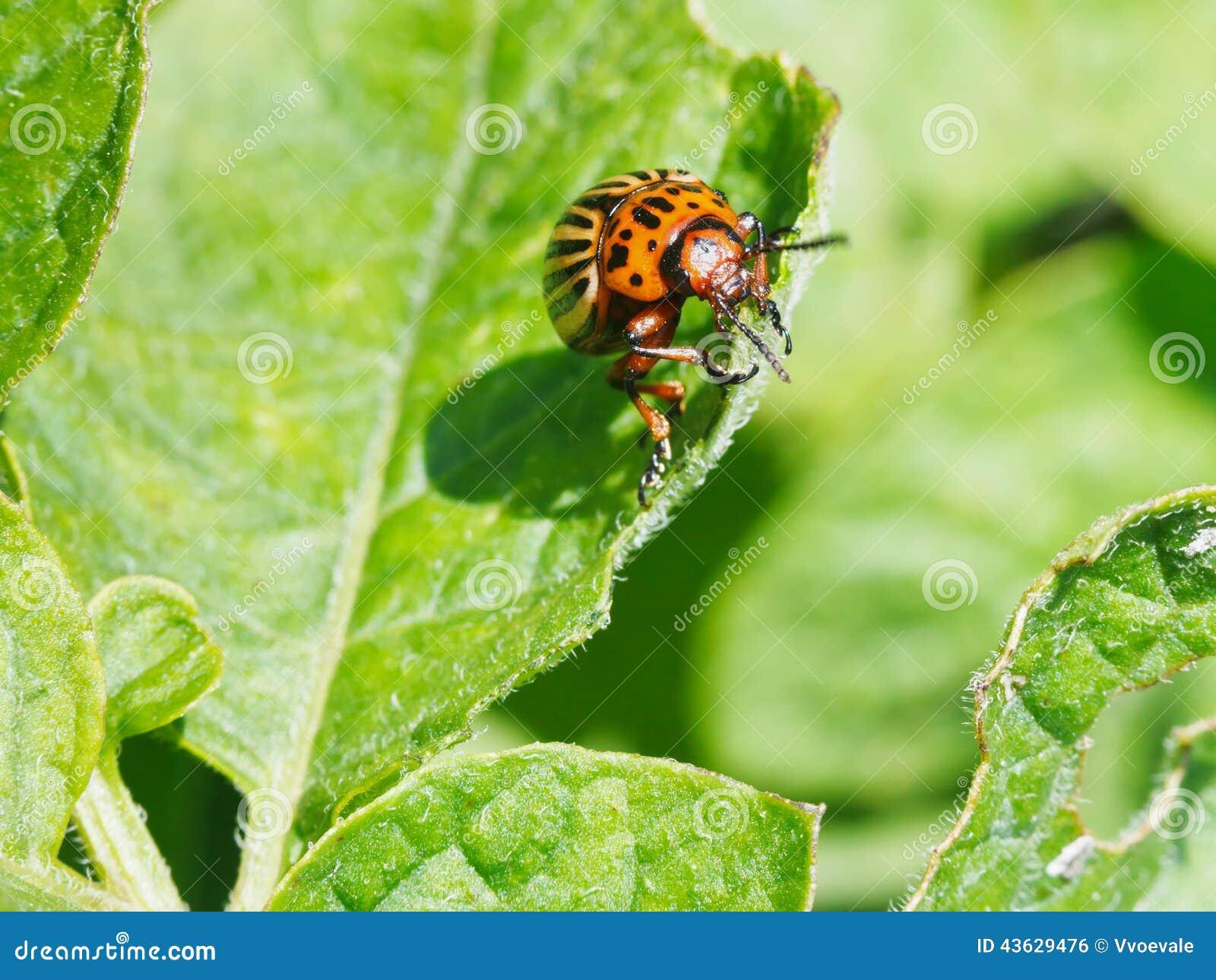 Potato bug eats potatoes leaves