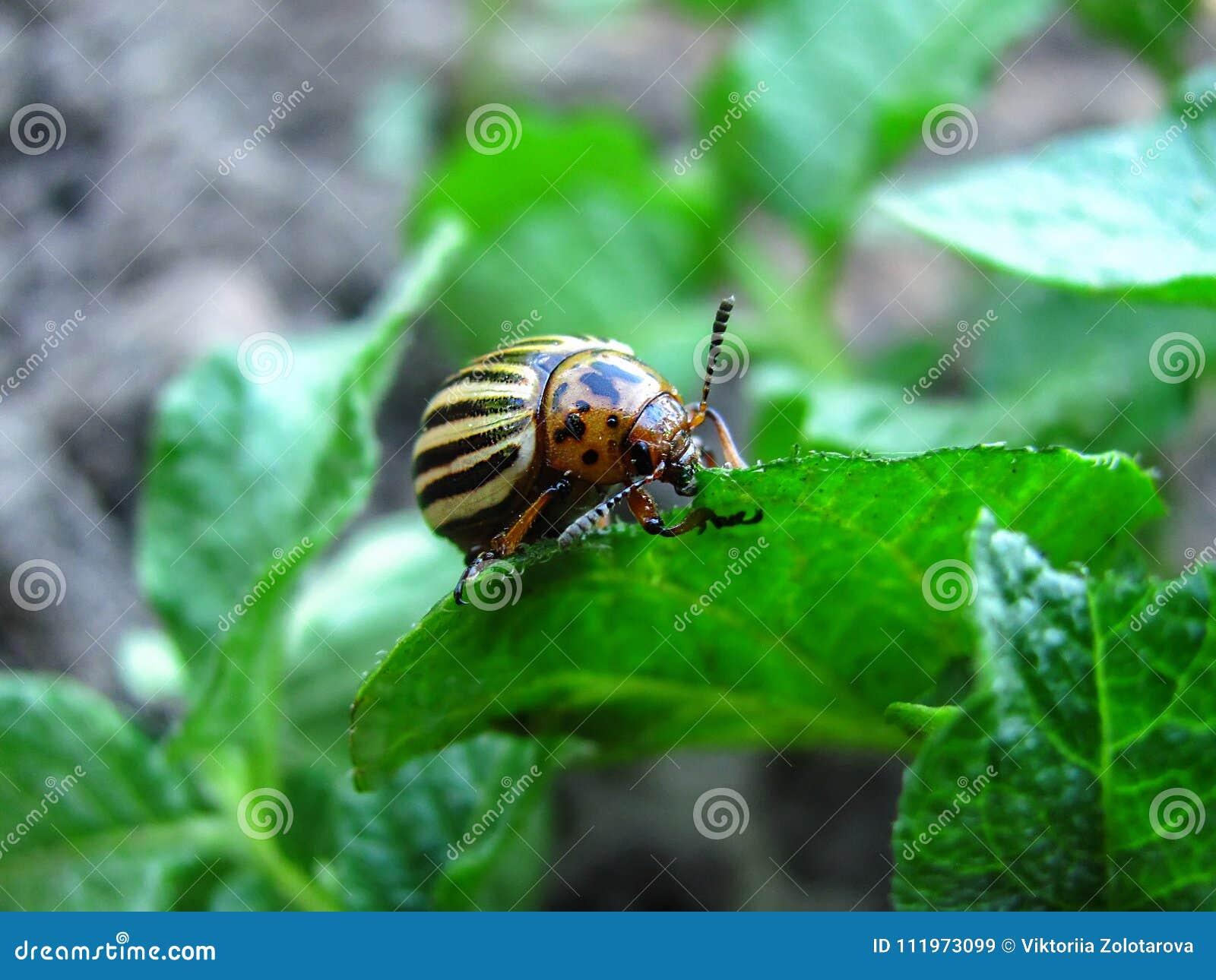 Potato bug close up