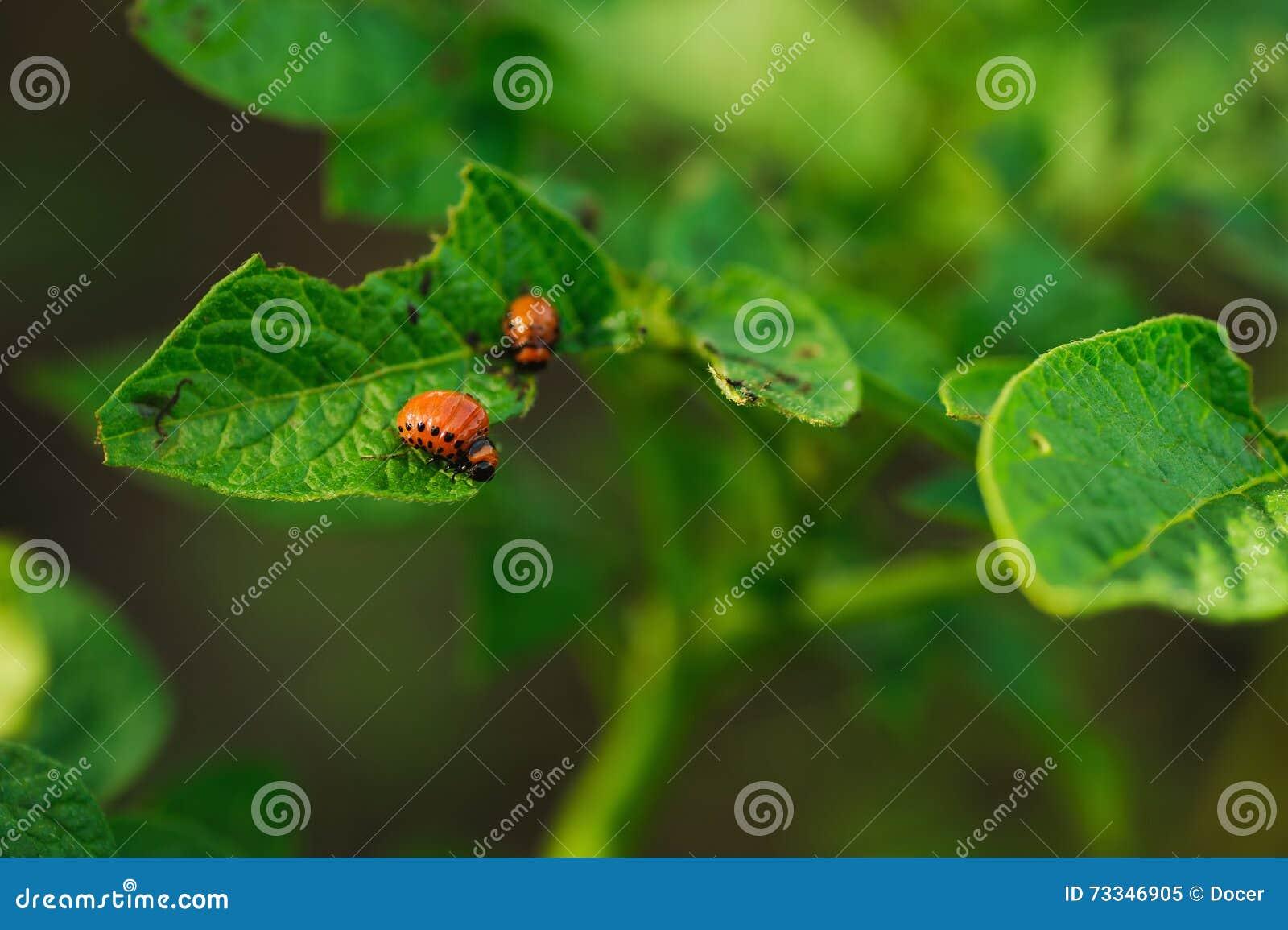 Potato bug in a green leaf
