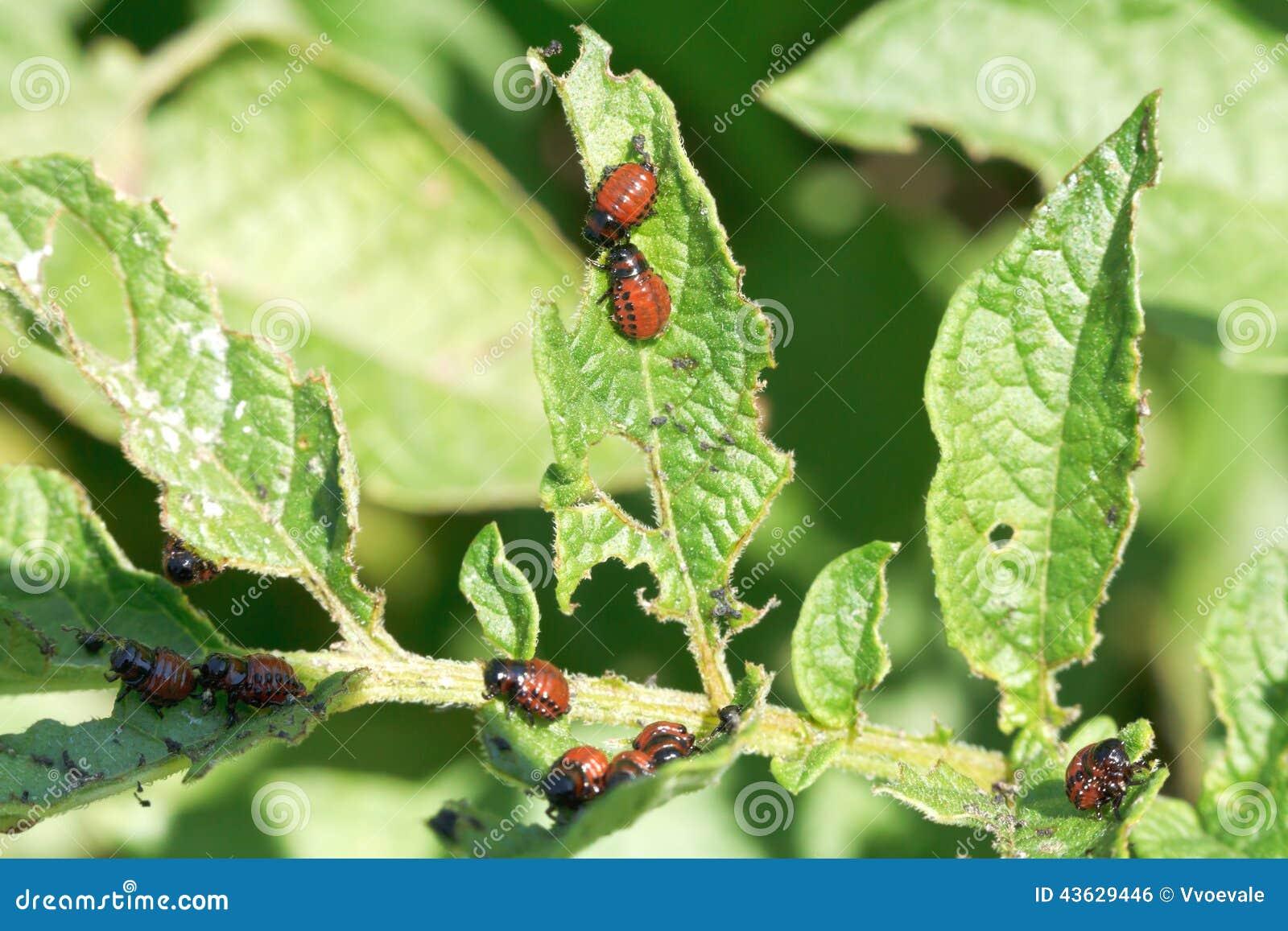 Potato bug larva in potatoes leaves