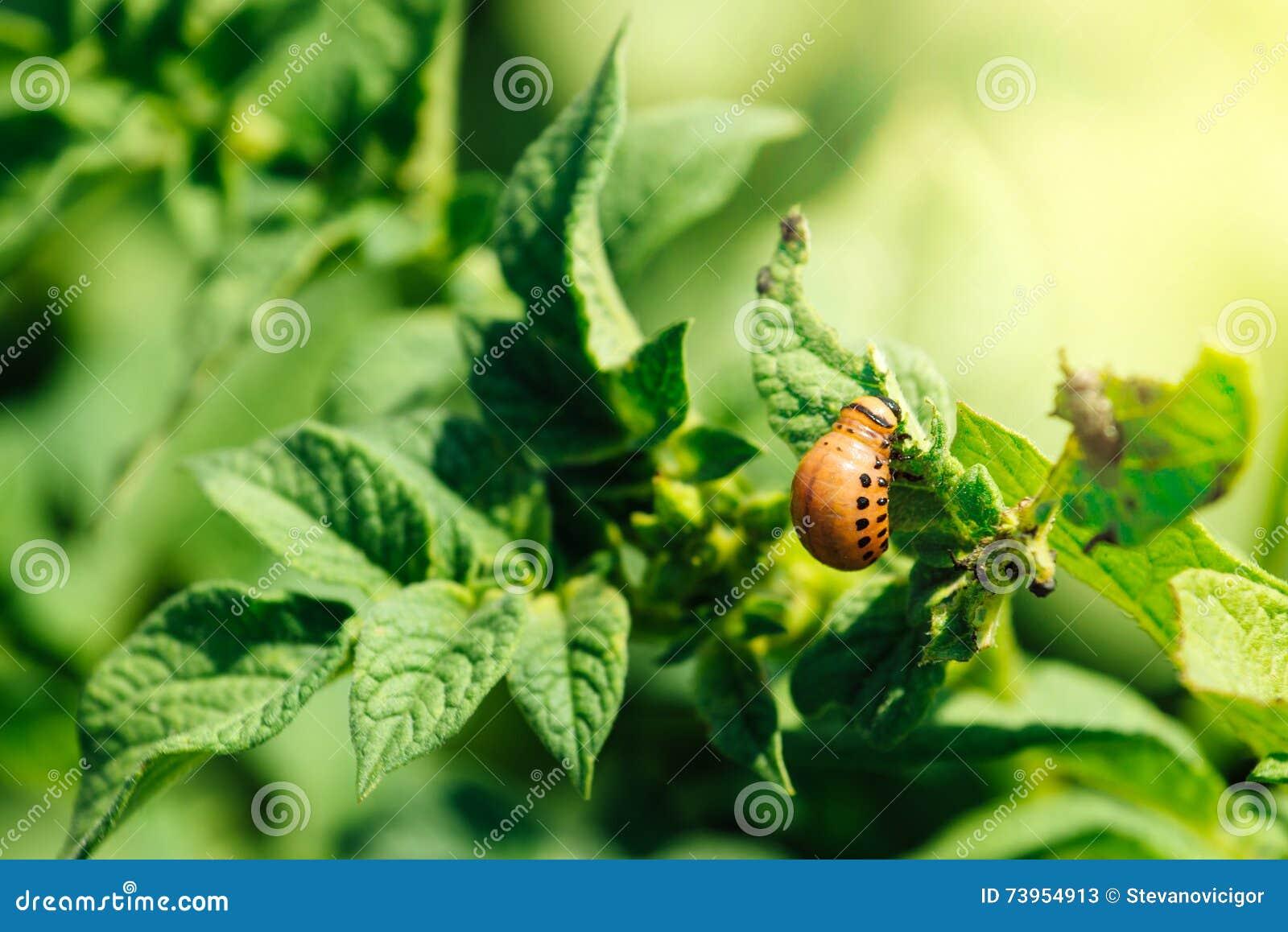 Potato bug larvae feeding on a plant leaf