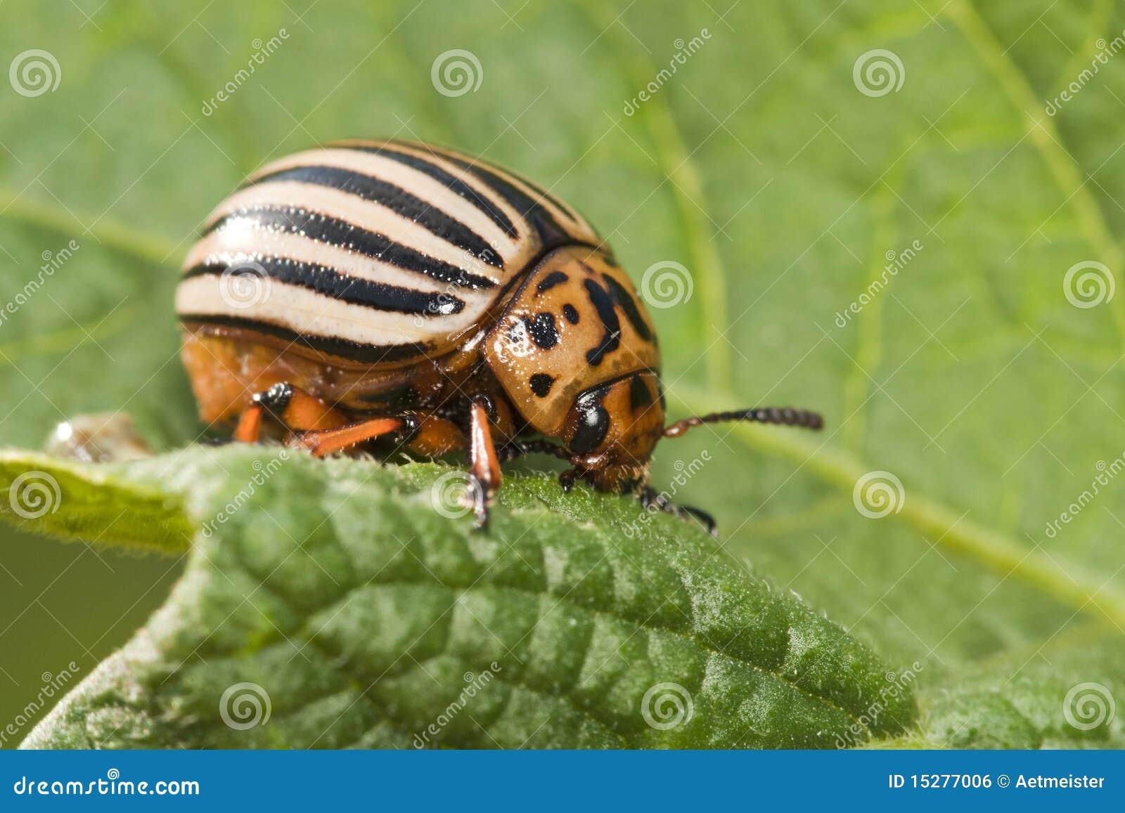 Potato bug o