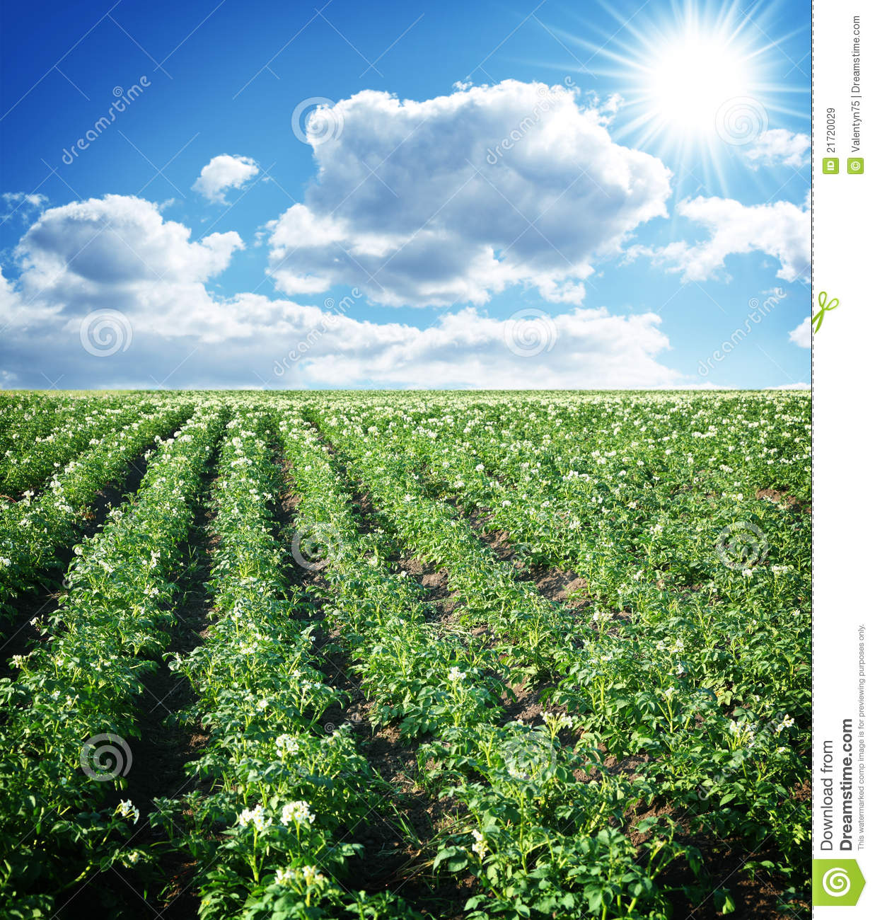 Potato Field Royalty Free Stock Images - Image: 21720029