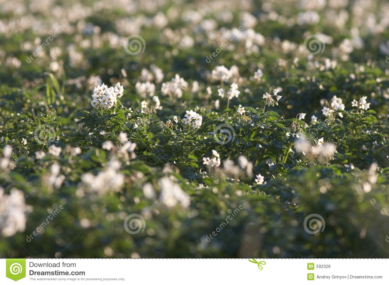 Potato Field With Flowers Royalty Free Stock Image - Image ...